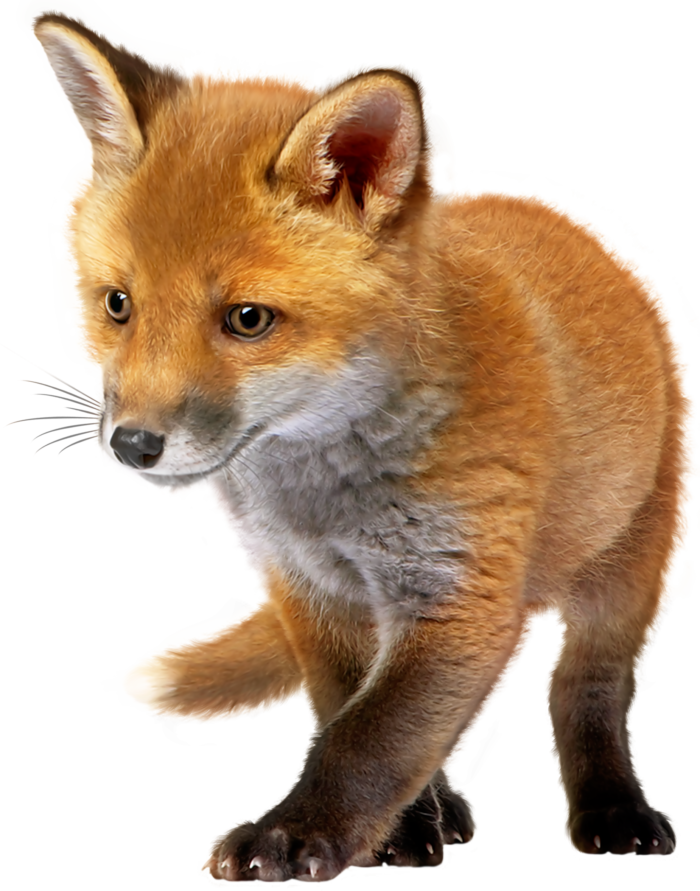 Pictures of Foxes on a Transparent Background. 100 Best Free PNGs