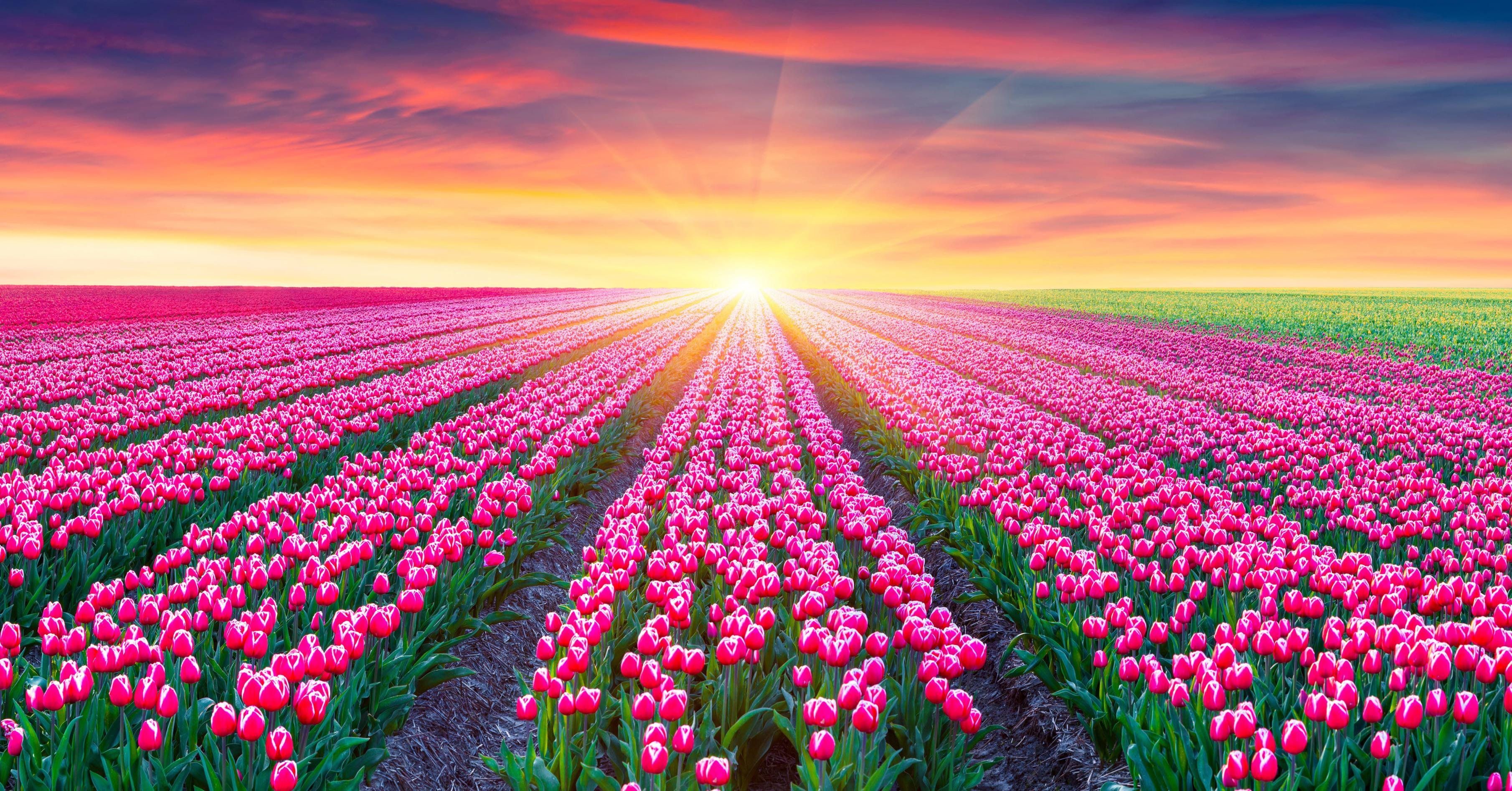 tulip-photo-1