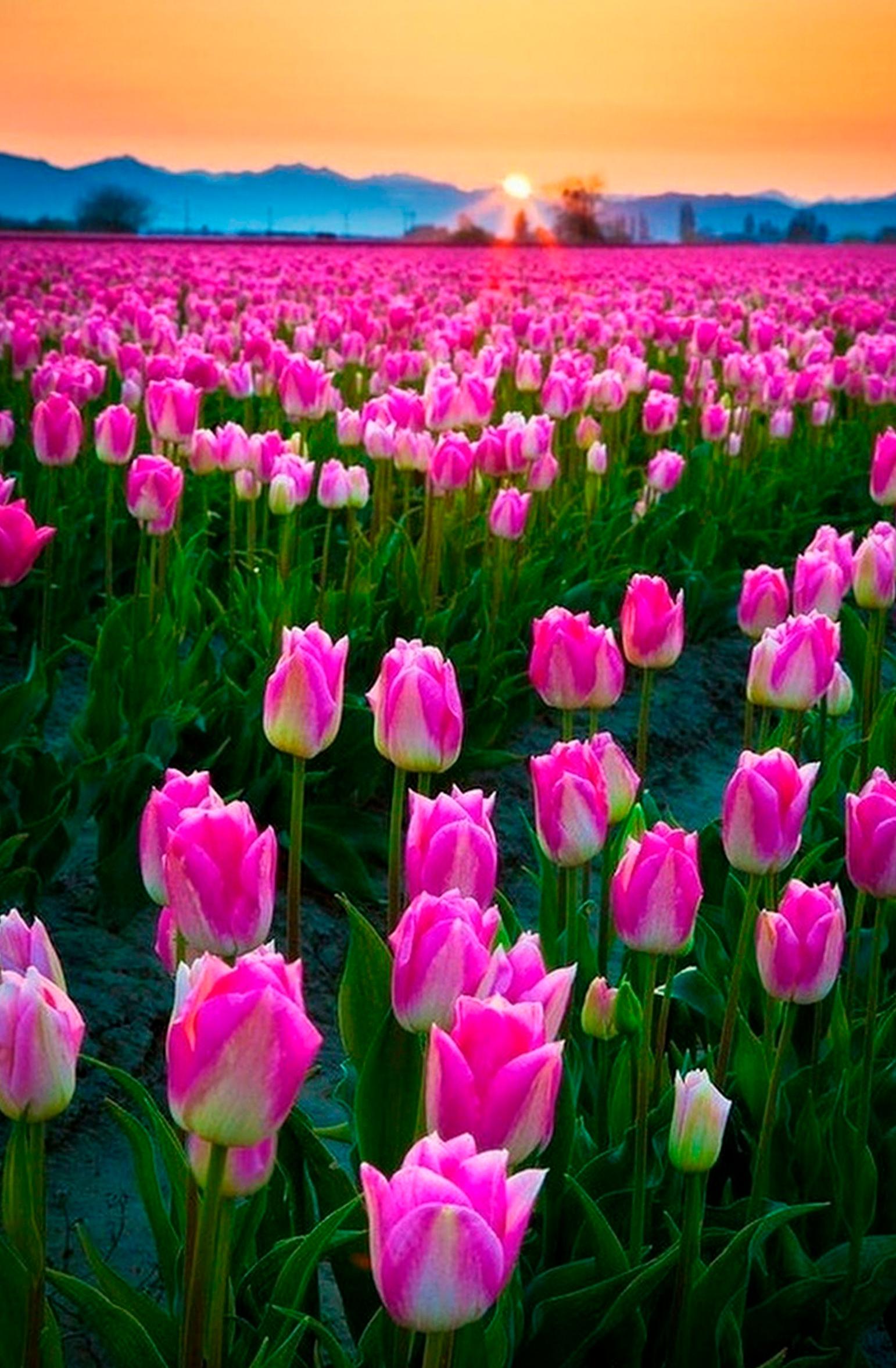tulip-photo-100