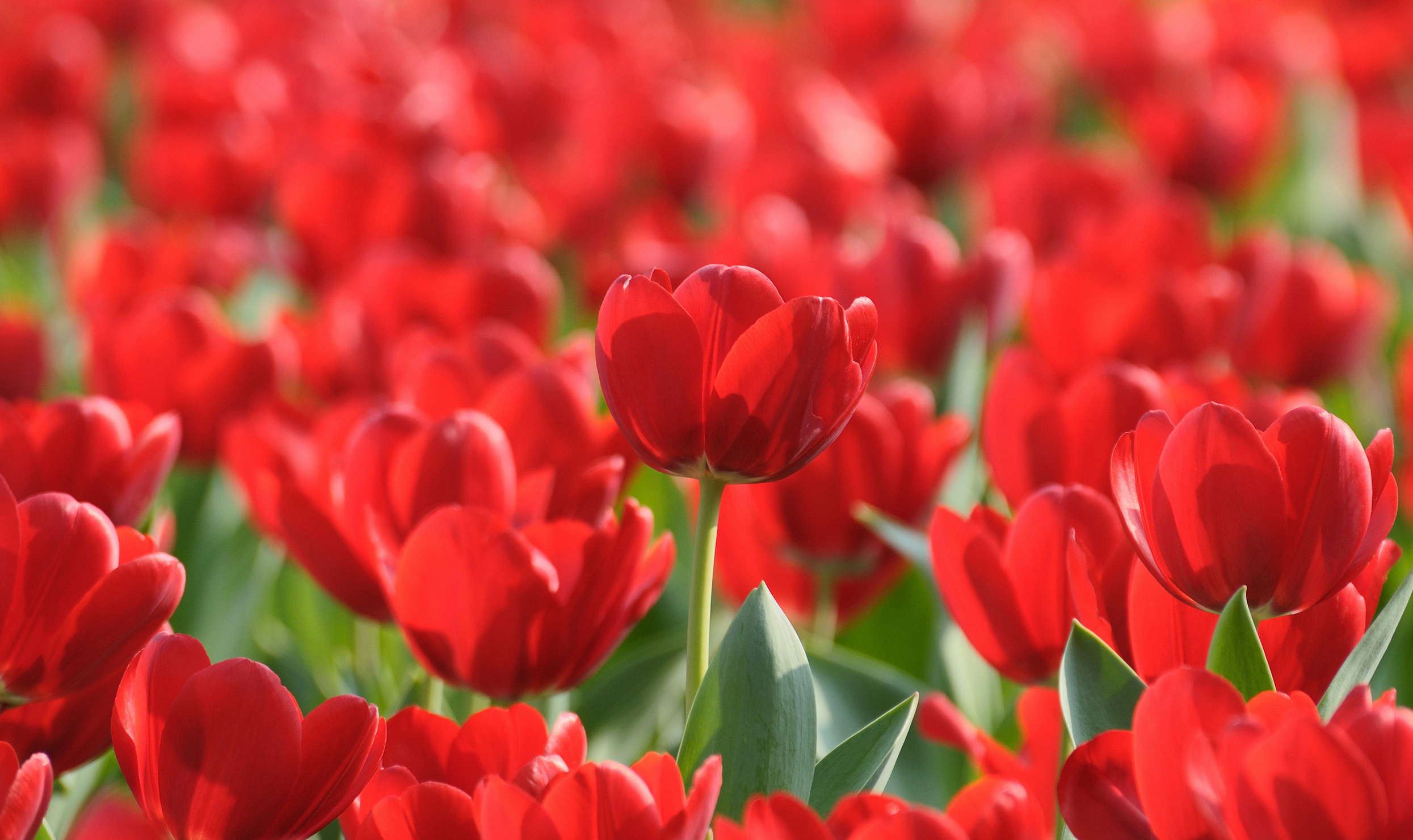tulip-photo-102