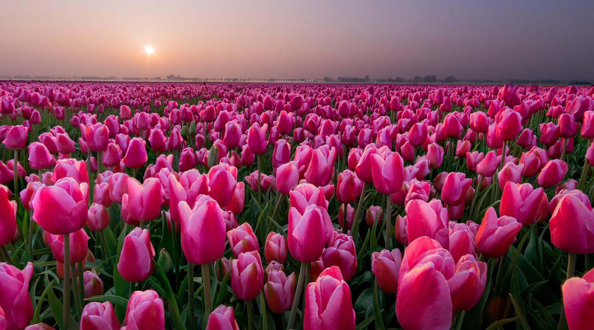 tulip-photo-103