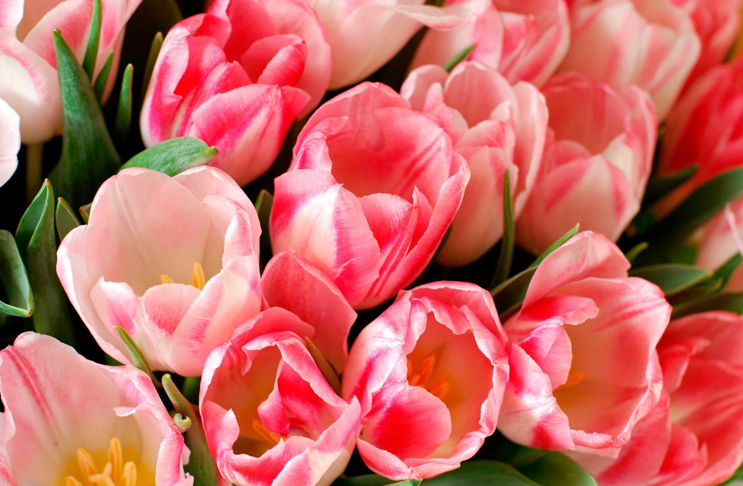 tulip-photo-104
