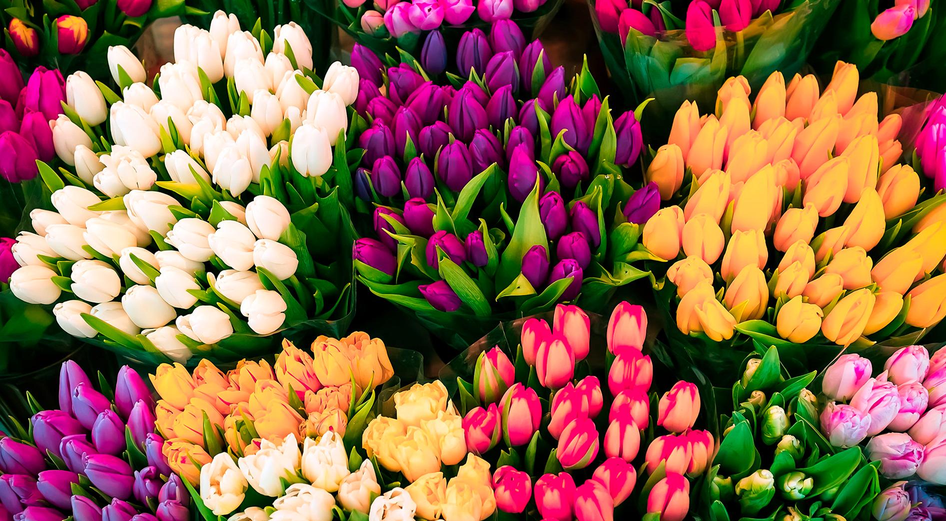 tulip-photo-105