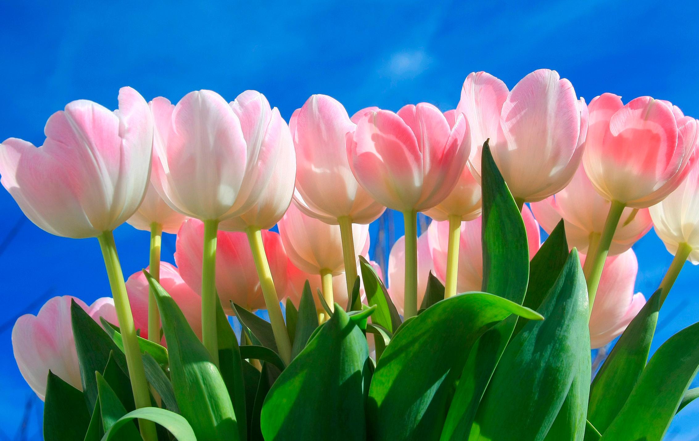 tulip-photo-106