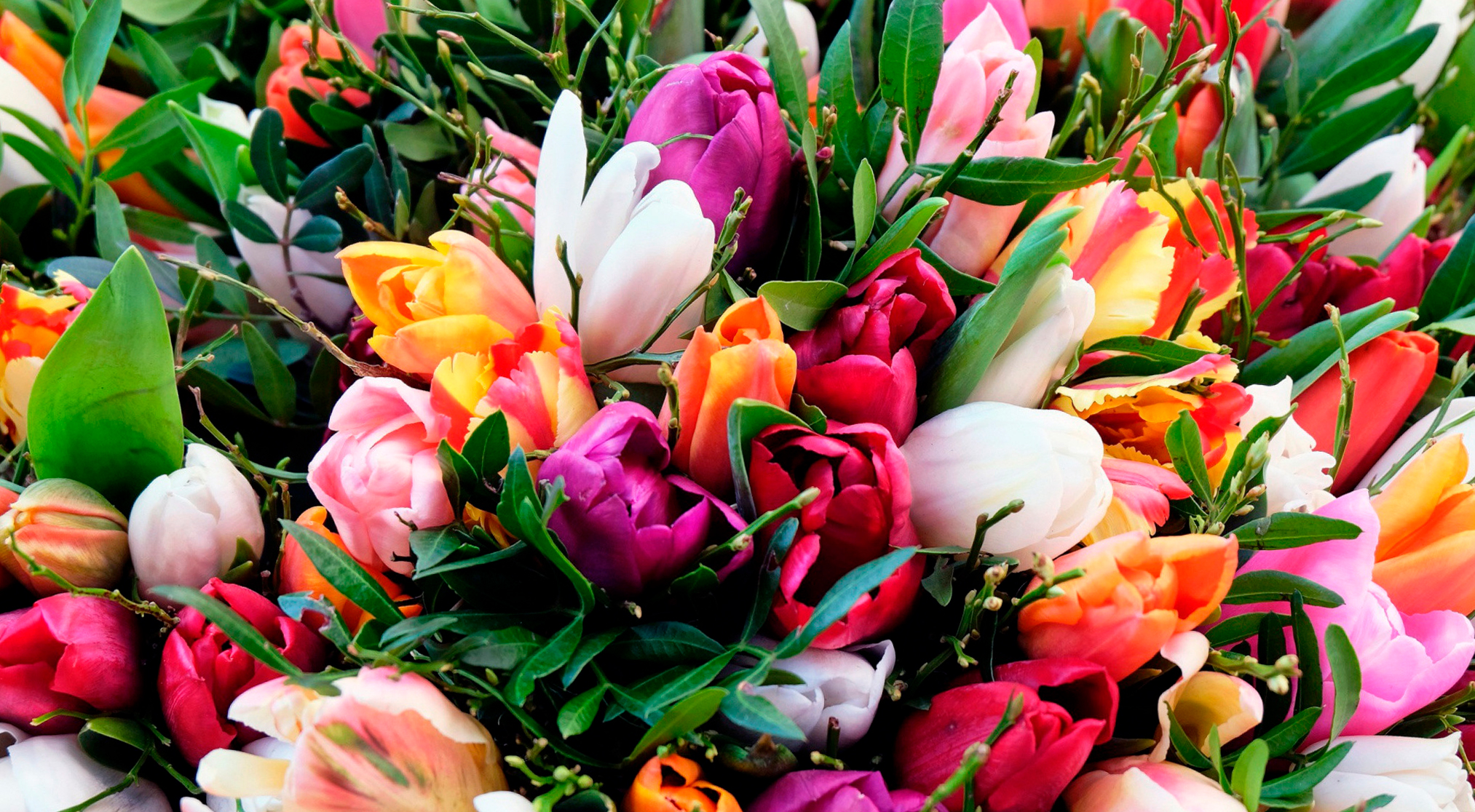 tulip-photo-108