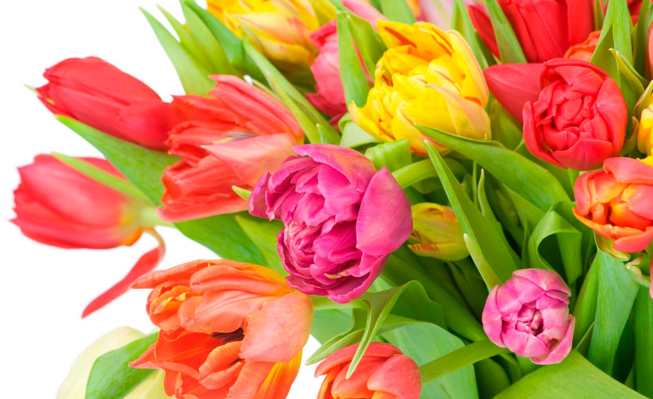 tulip-photo-110