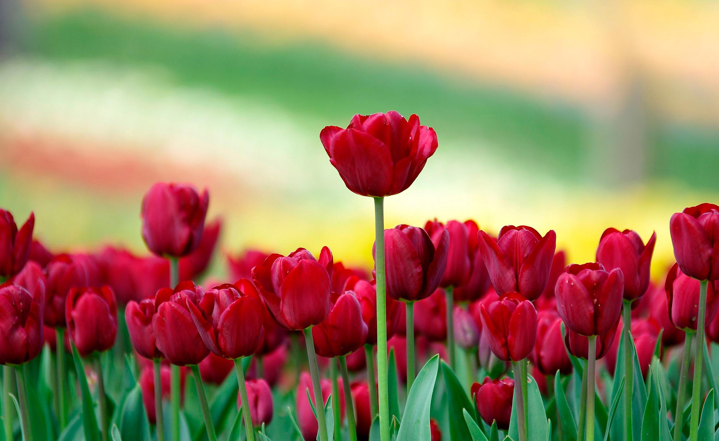 tulip-photo-111
