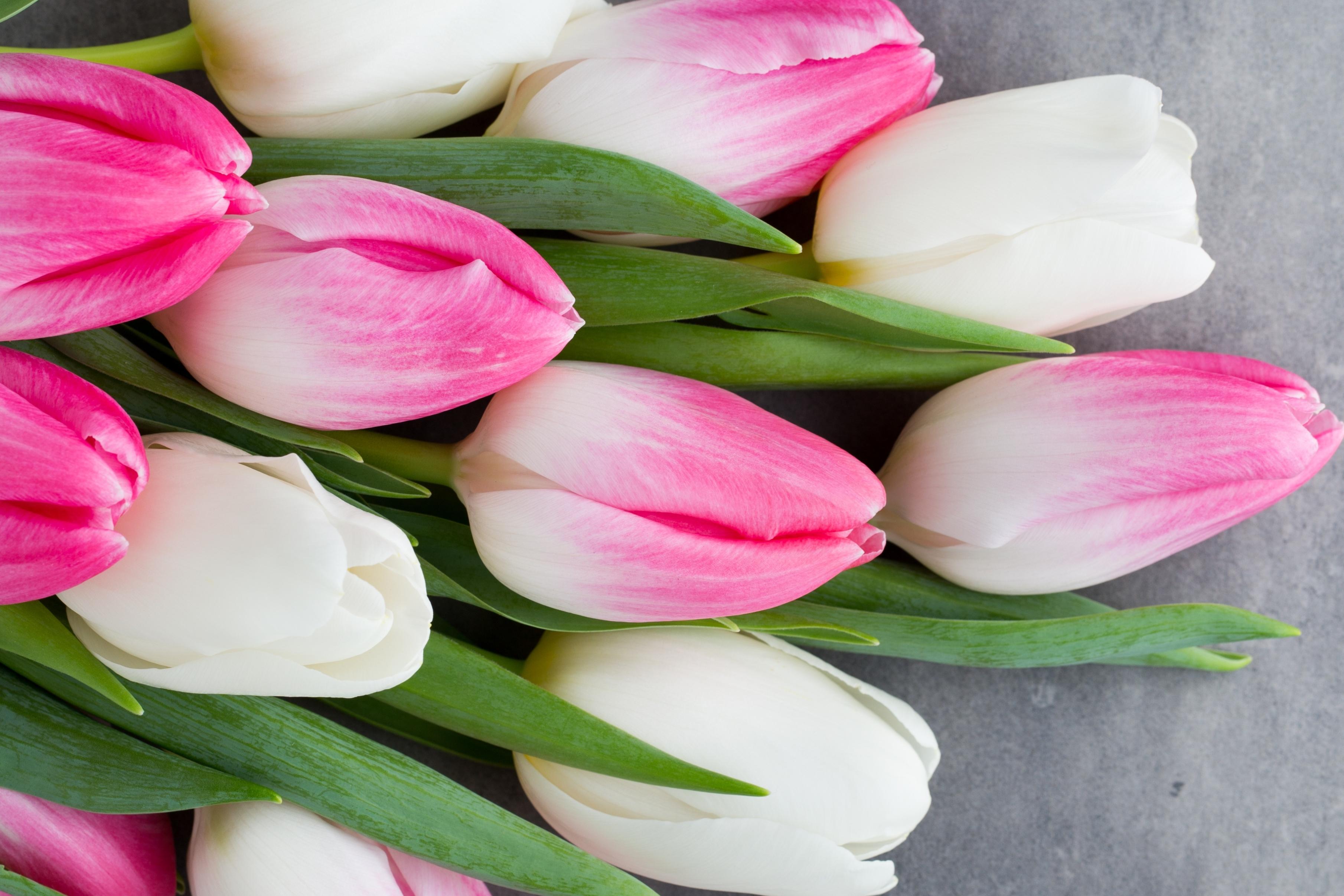 tulip-photo-113