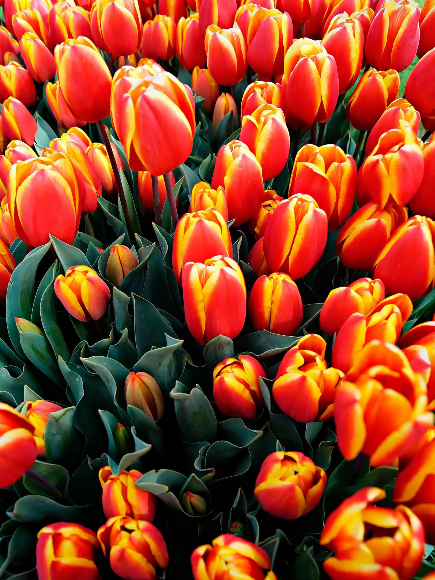 tulip-photo-114