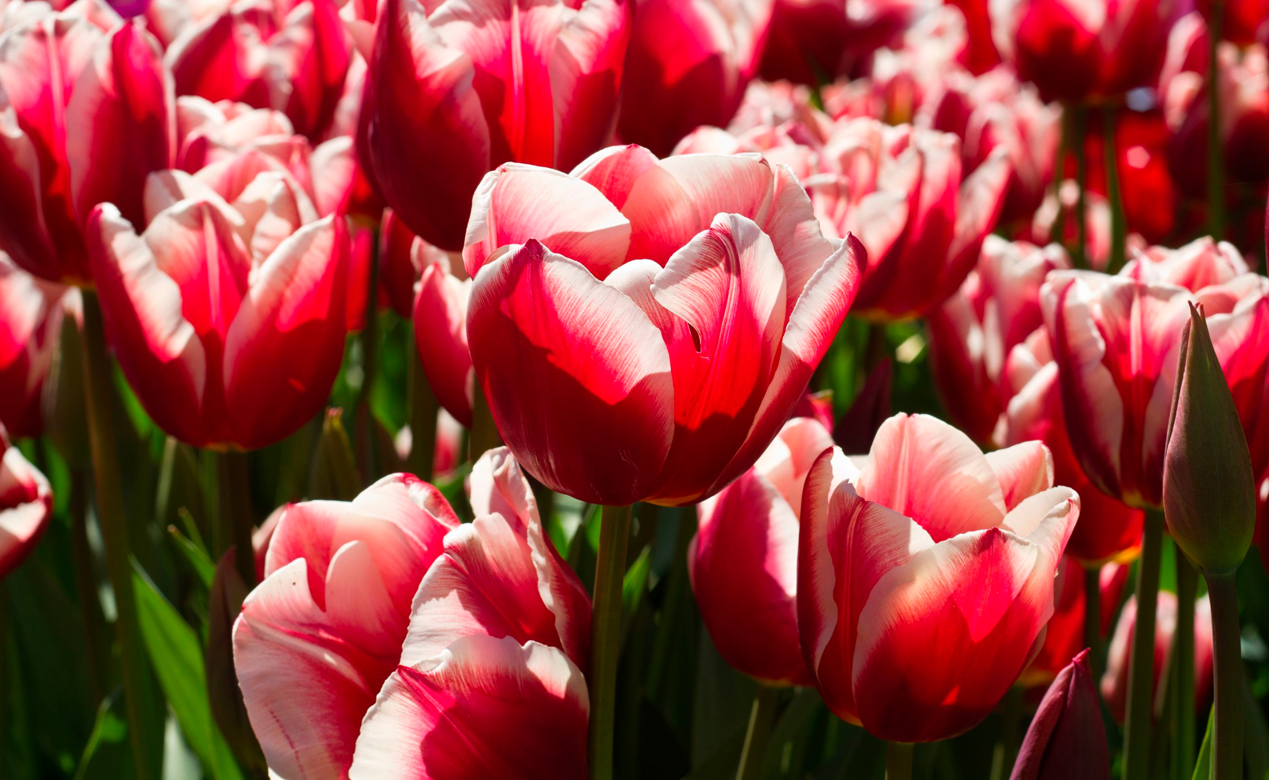 tulip-photo-115