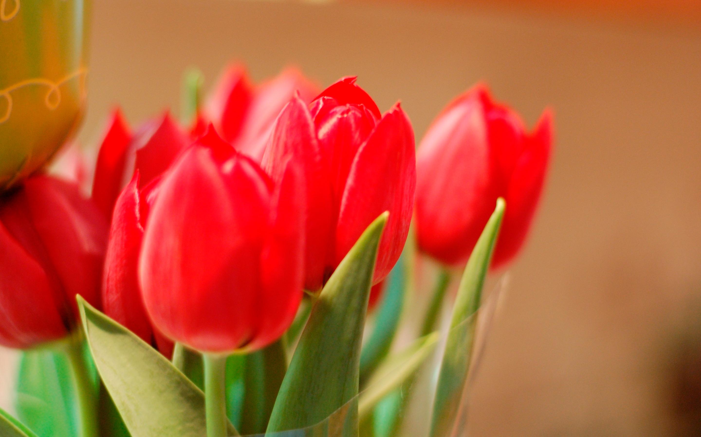tulip-photo-117