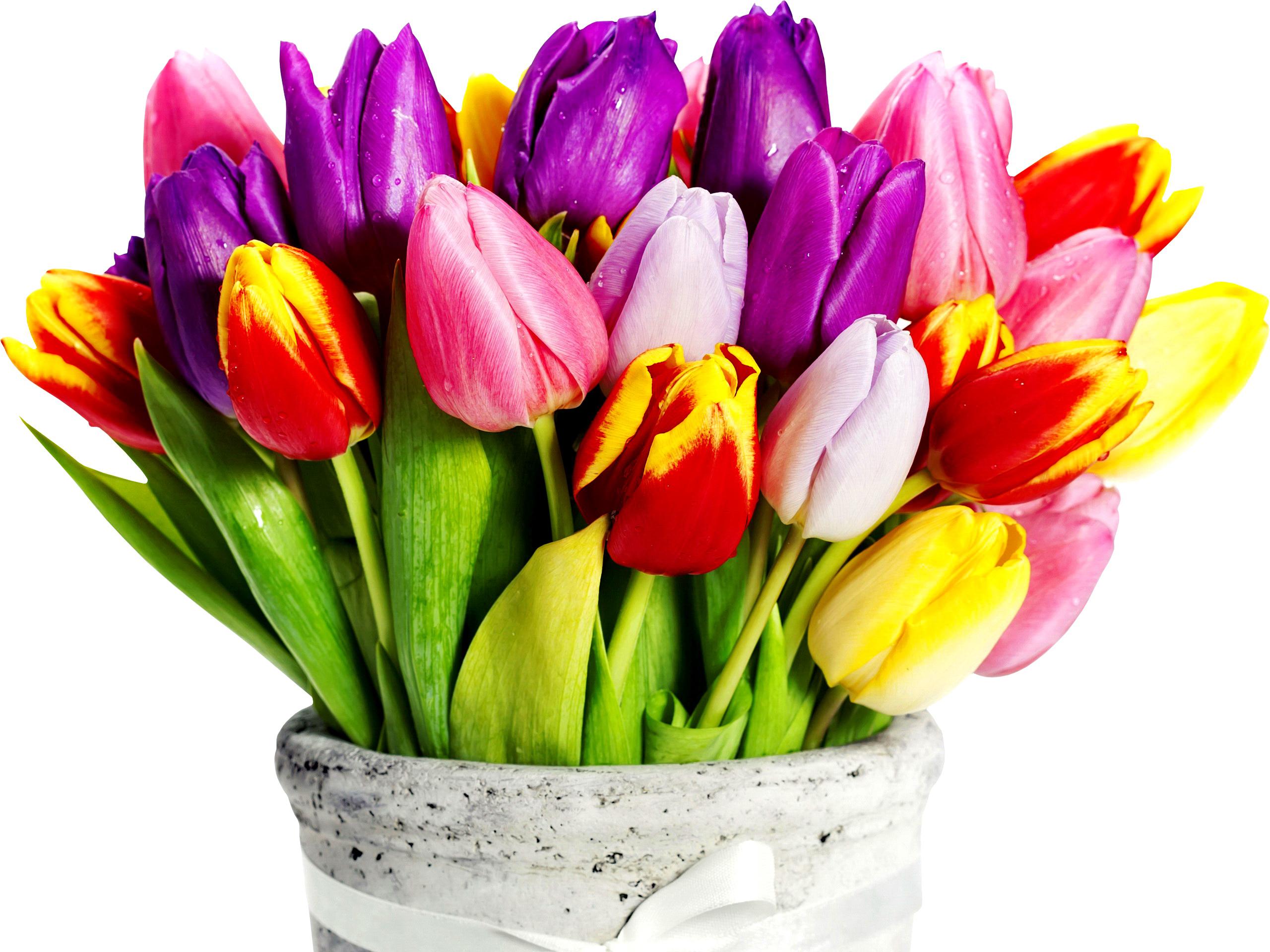 tulip-photo-118
