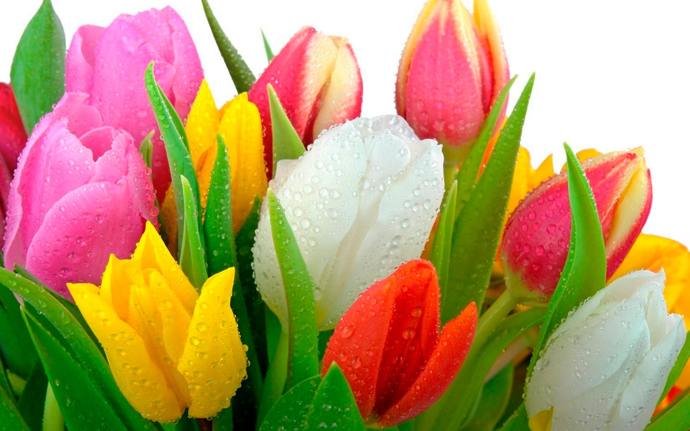 tulip-photo-119