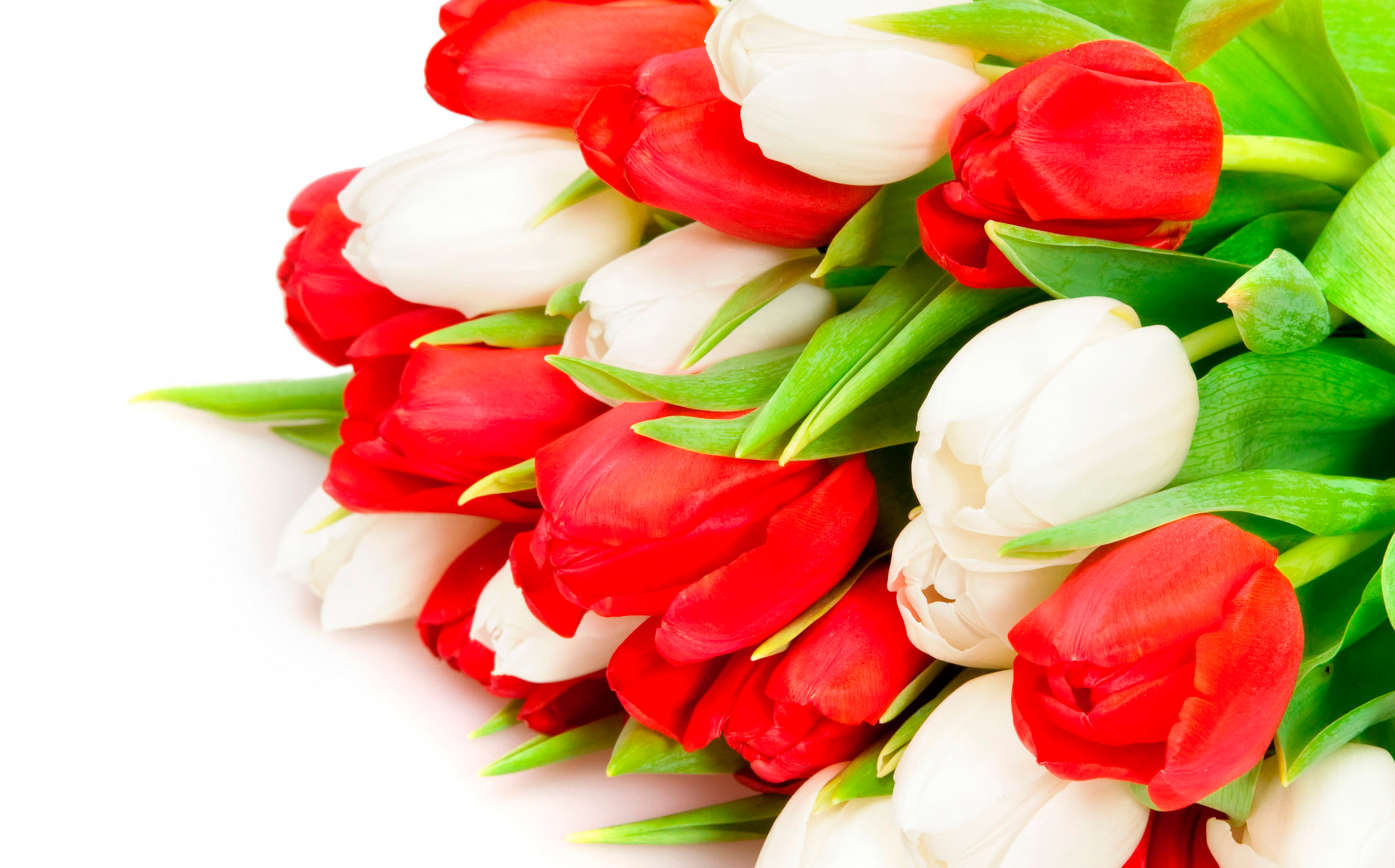 tulip-photo-120