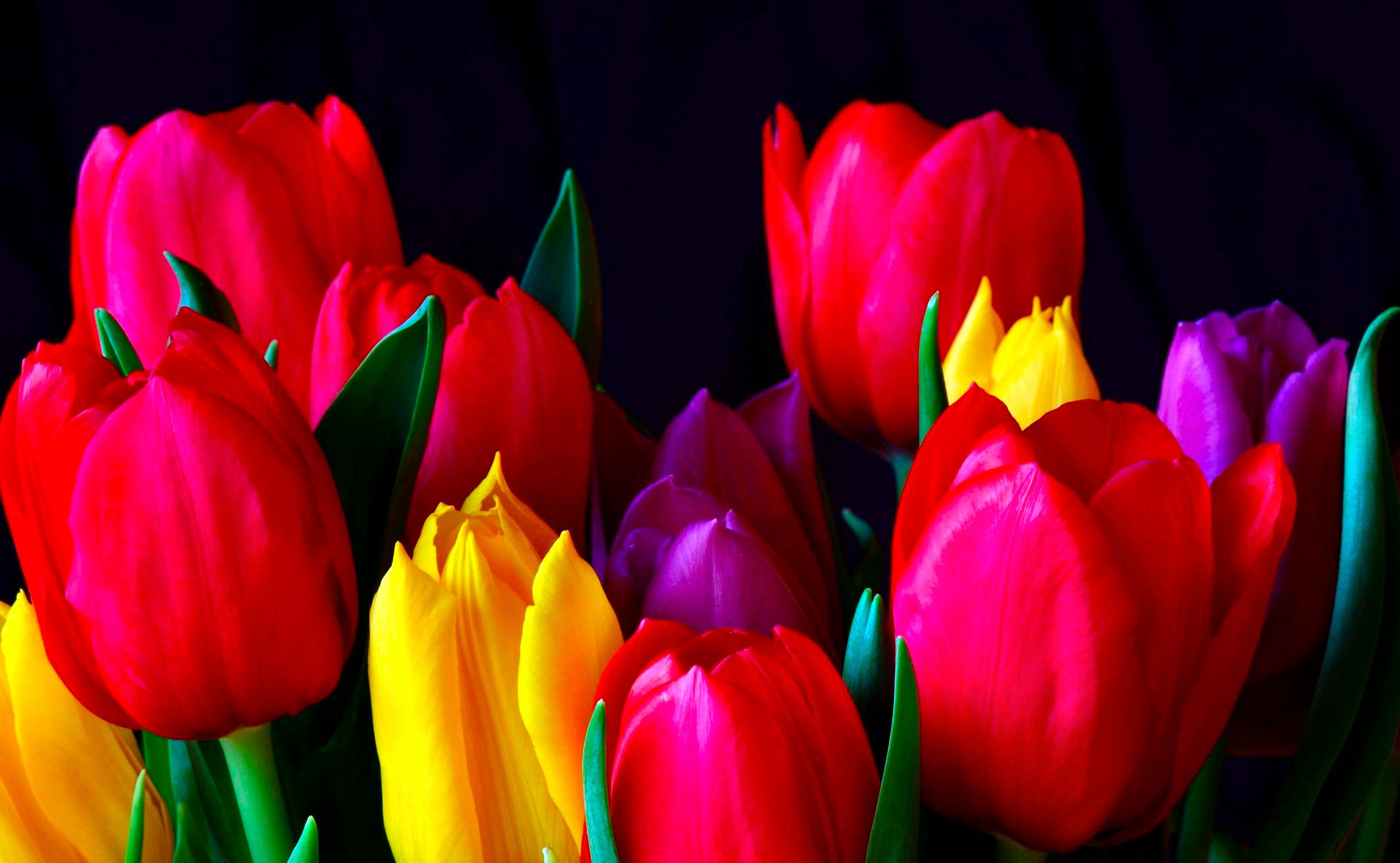 tulip-photo-121