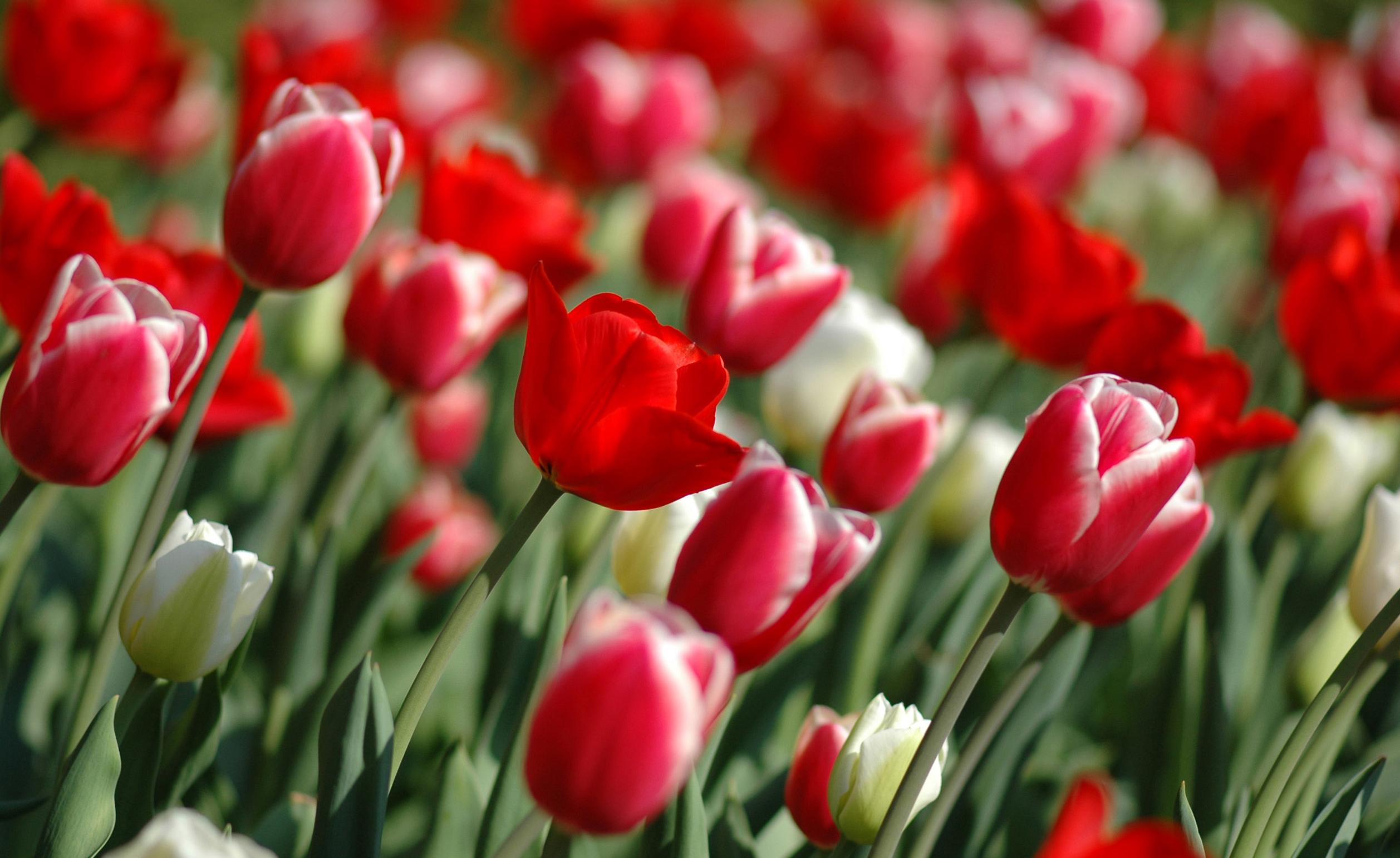 tulip-photo-122