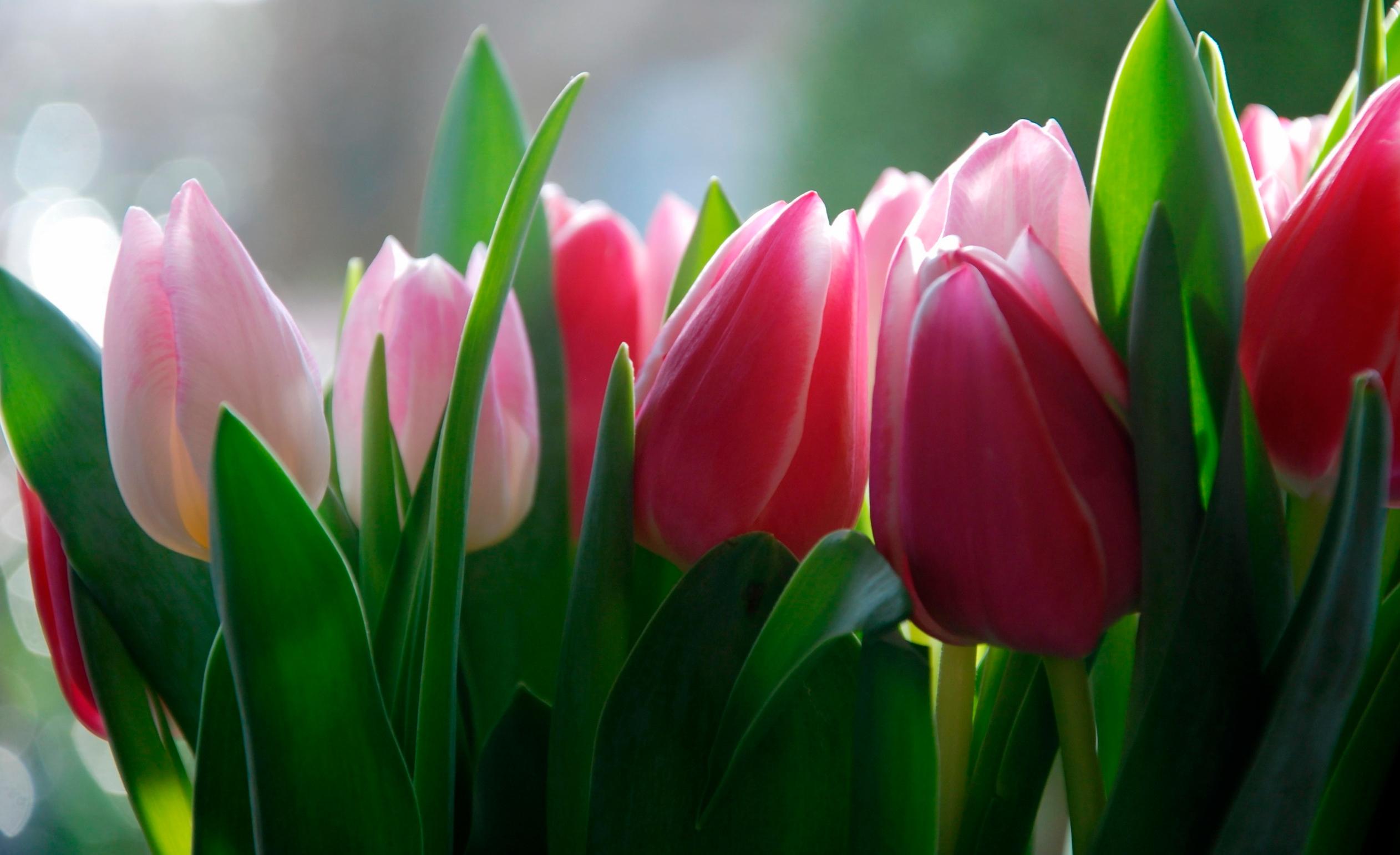 tulip-photo-123