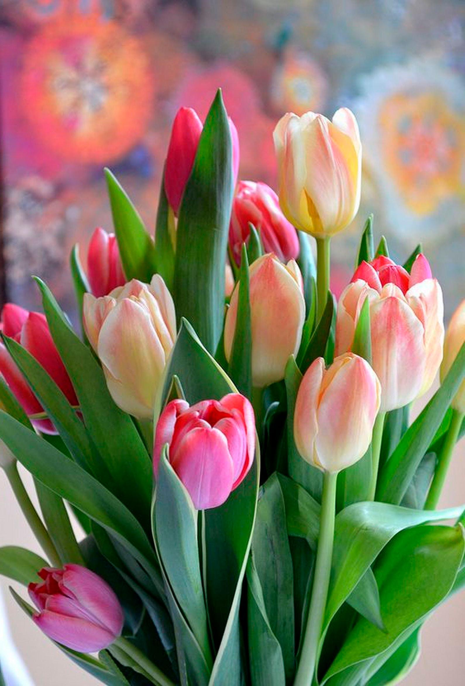 tulip-photo-124