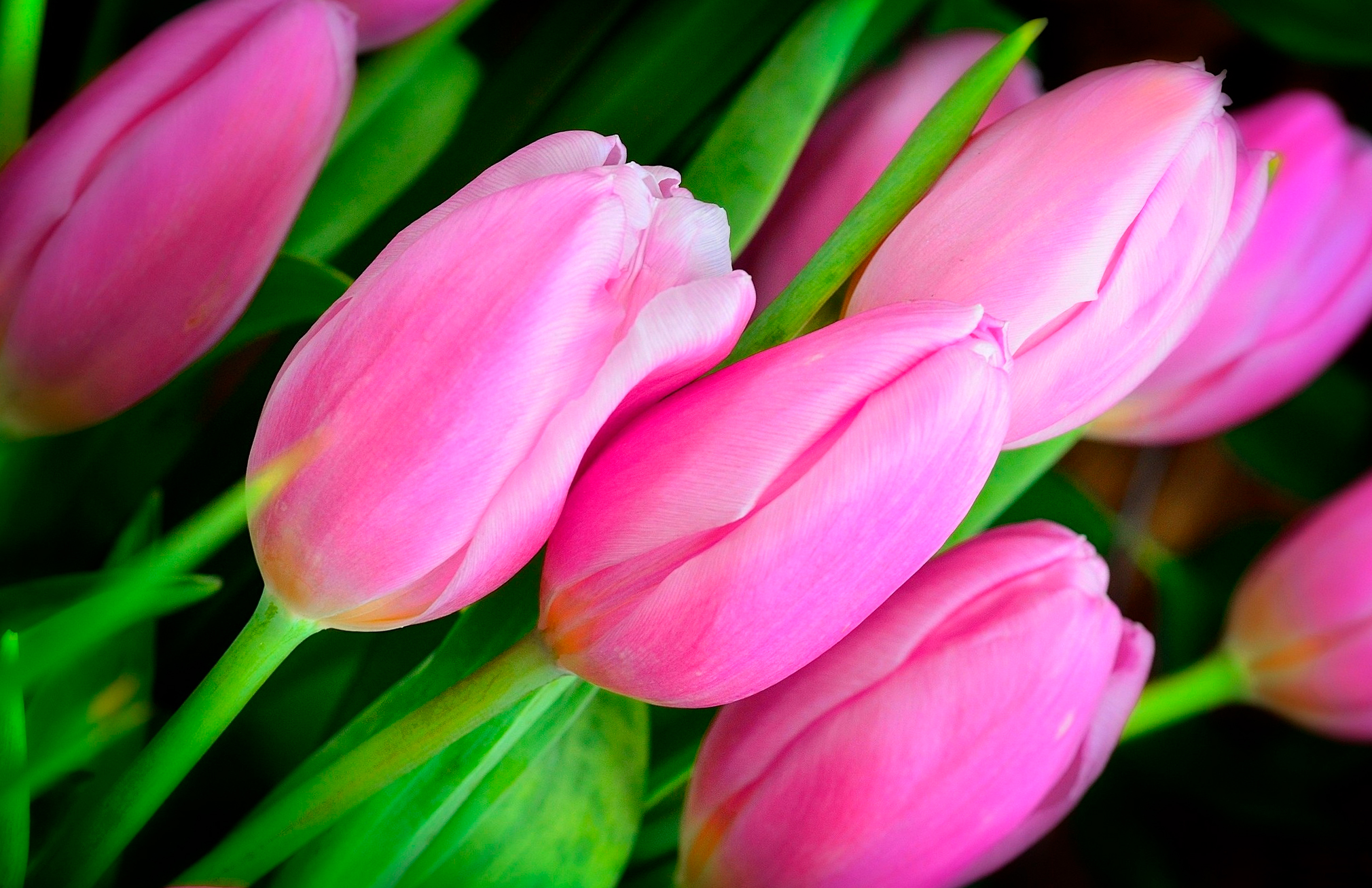 tulip-photo-125