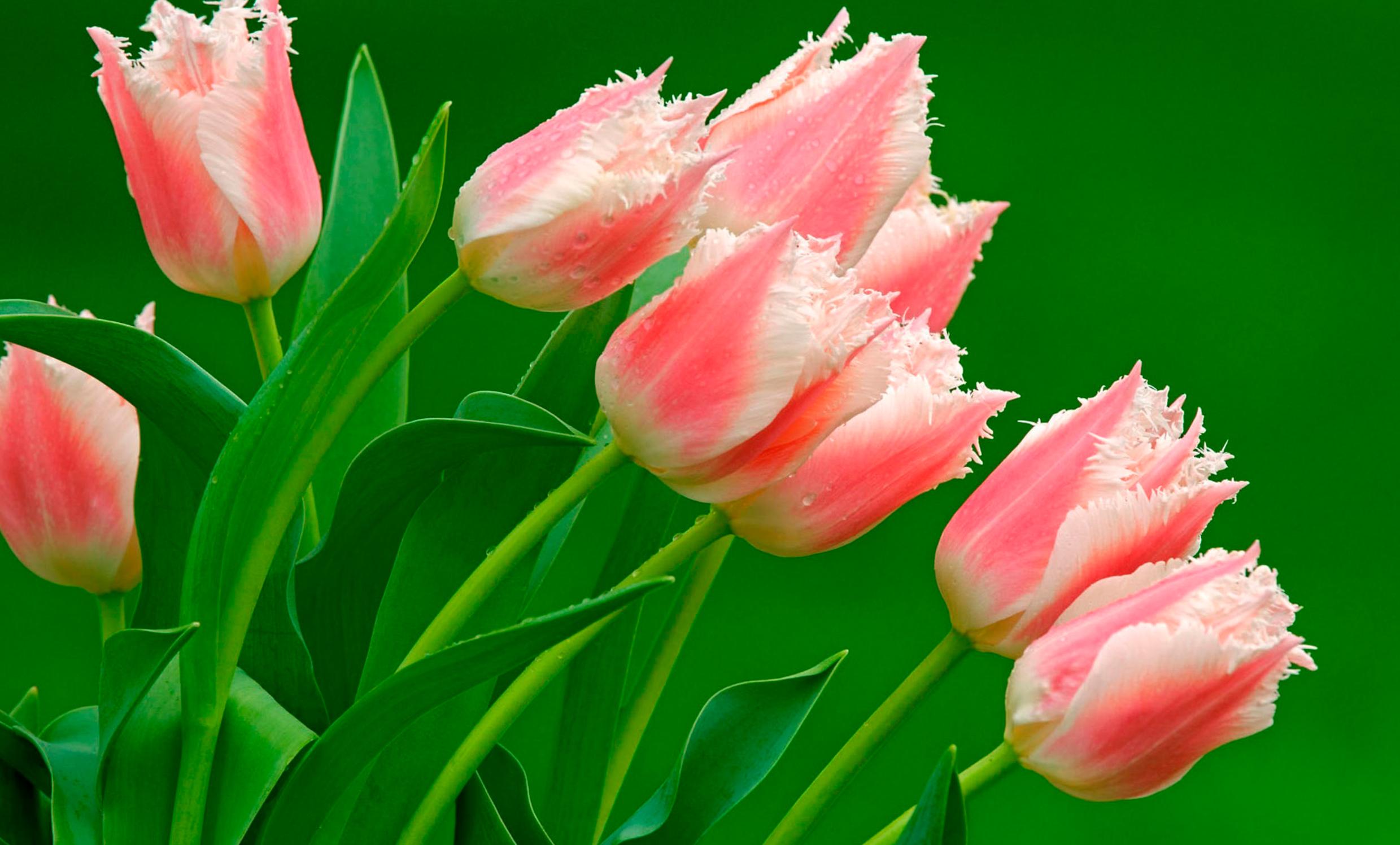 tulip-photo-126