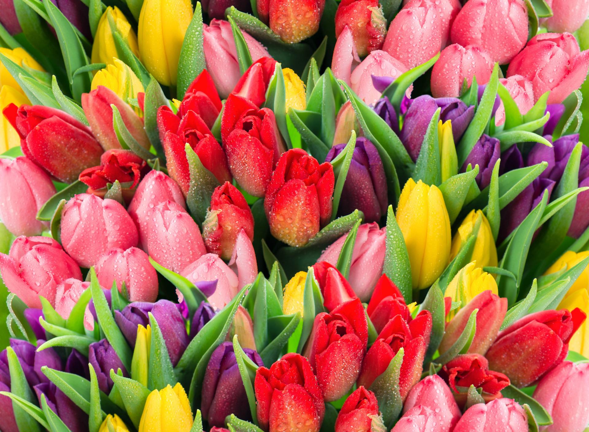 tulip-photo-127