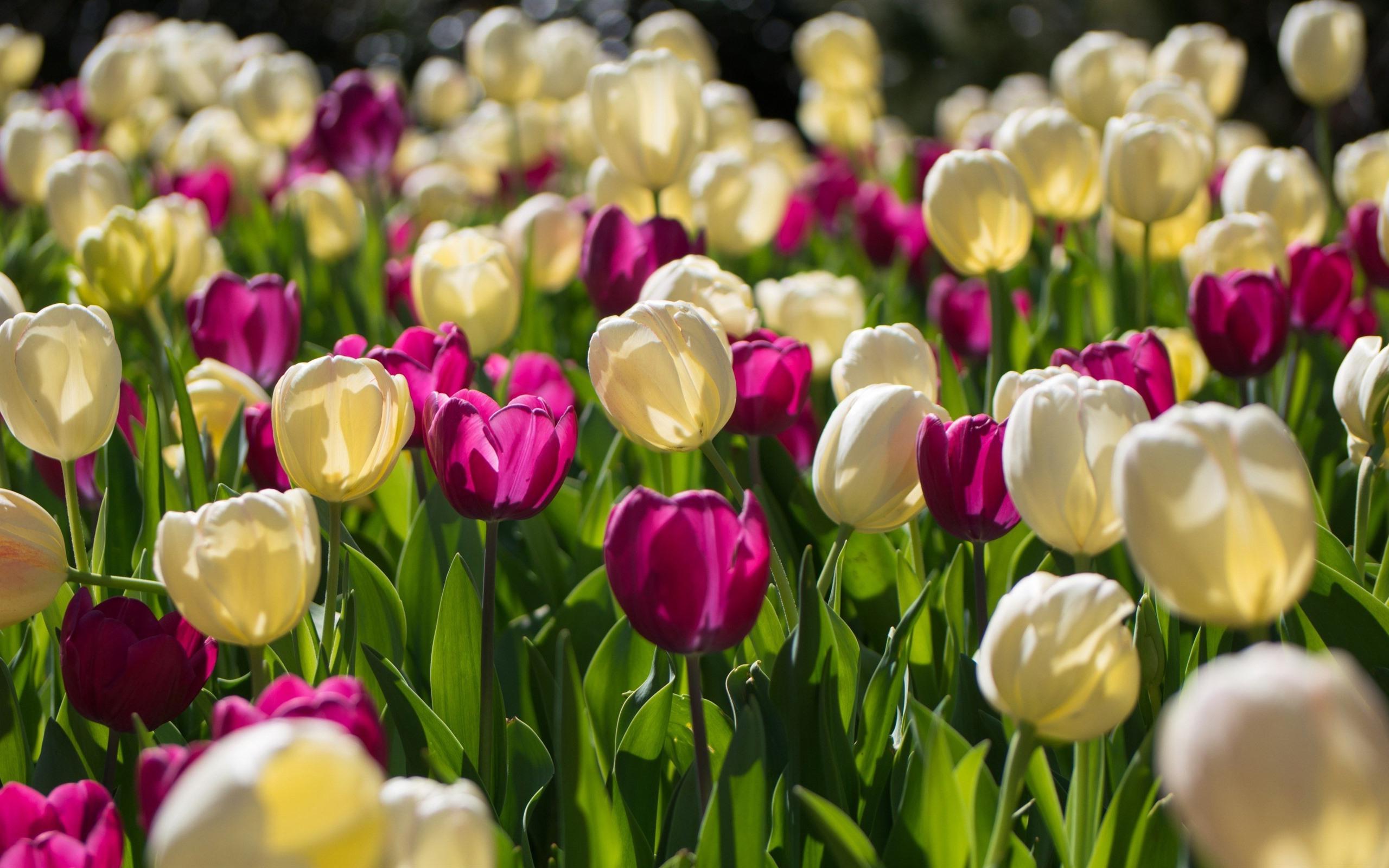 tulip-photo-128