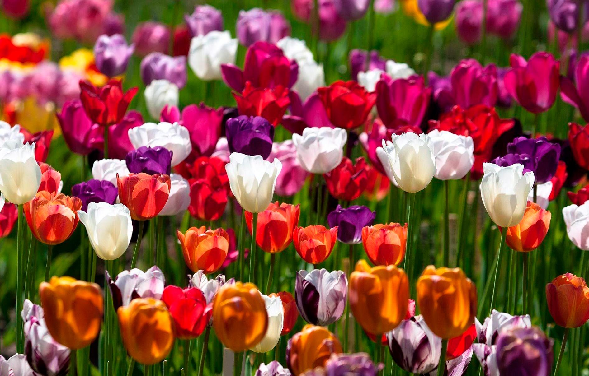 tulip-photo-129