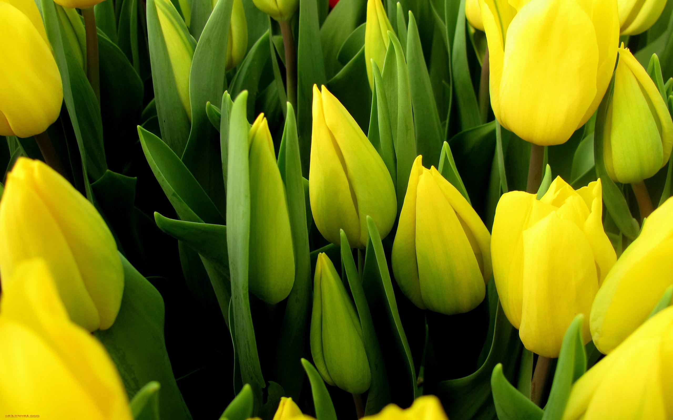 tulip-photo-131