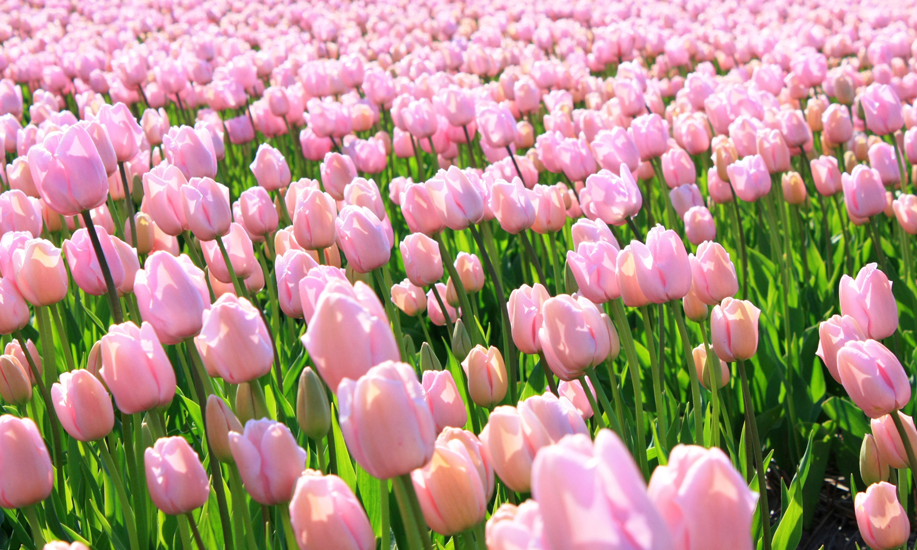 tulip-photo-132