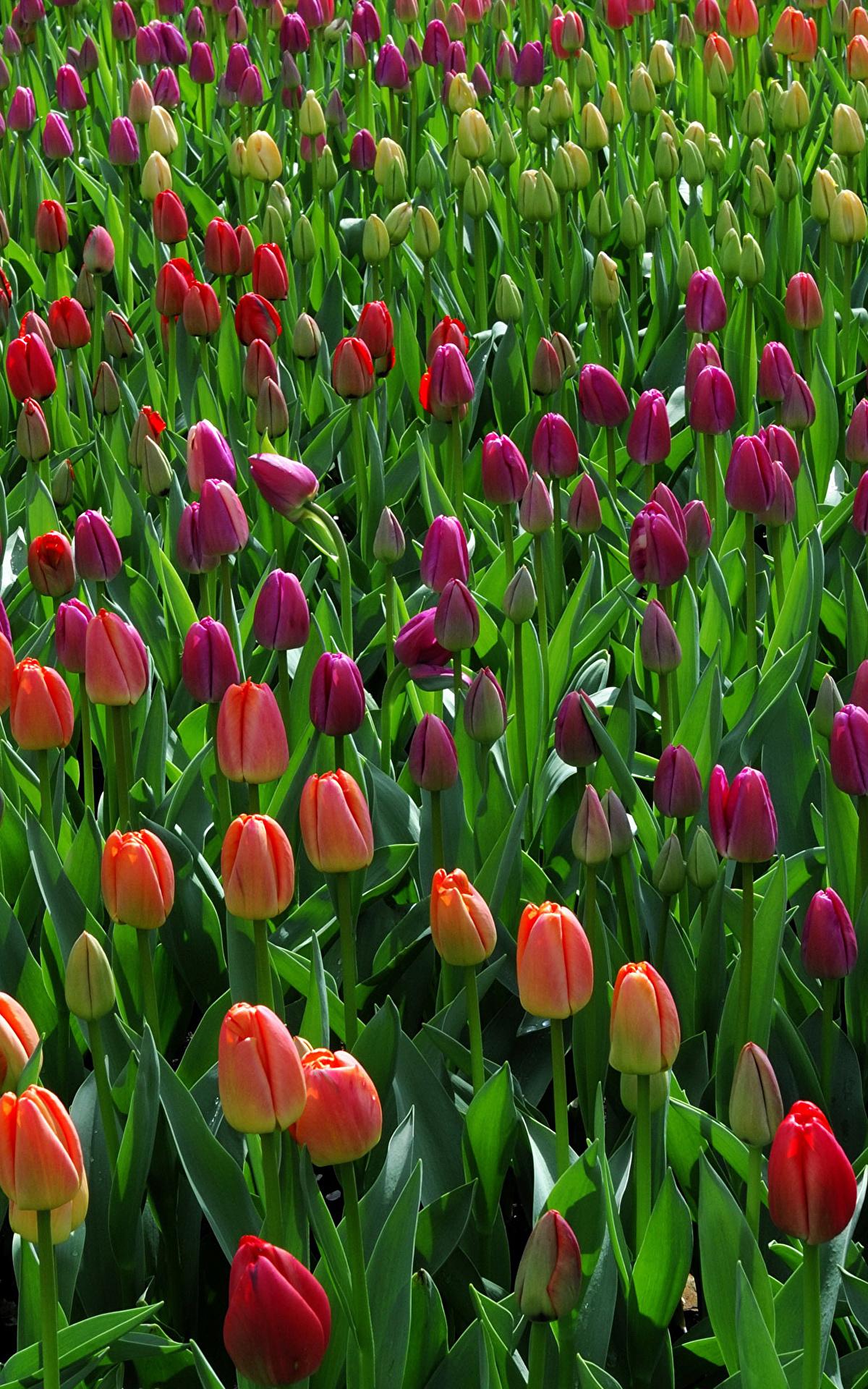 tulip-photo-133
