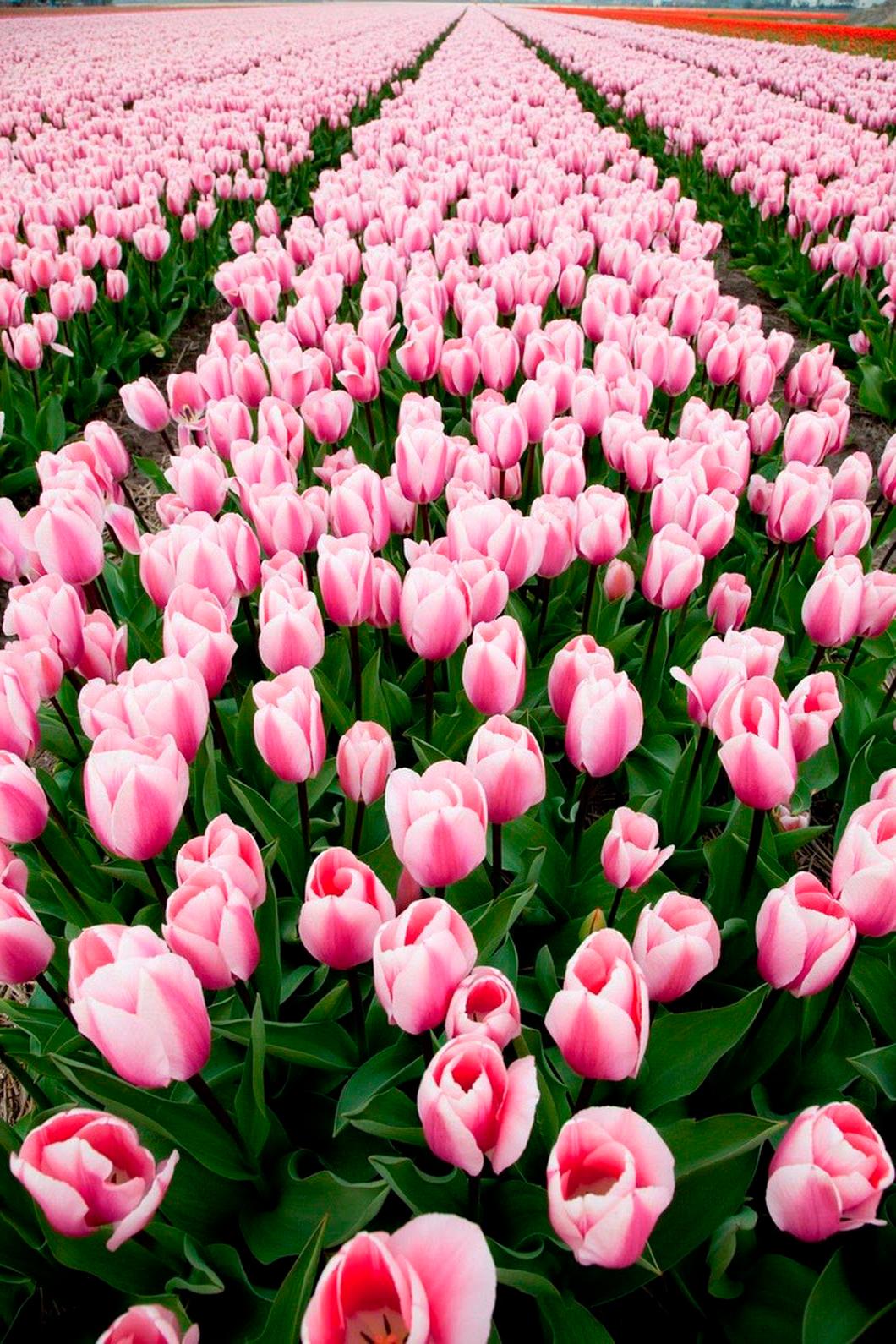 tulip-photo-136