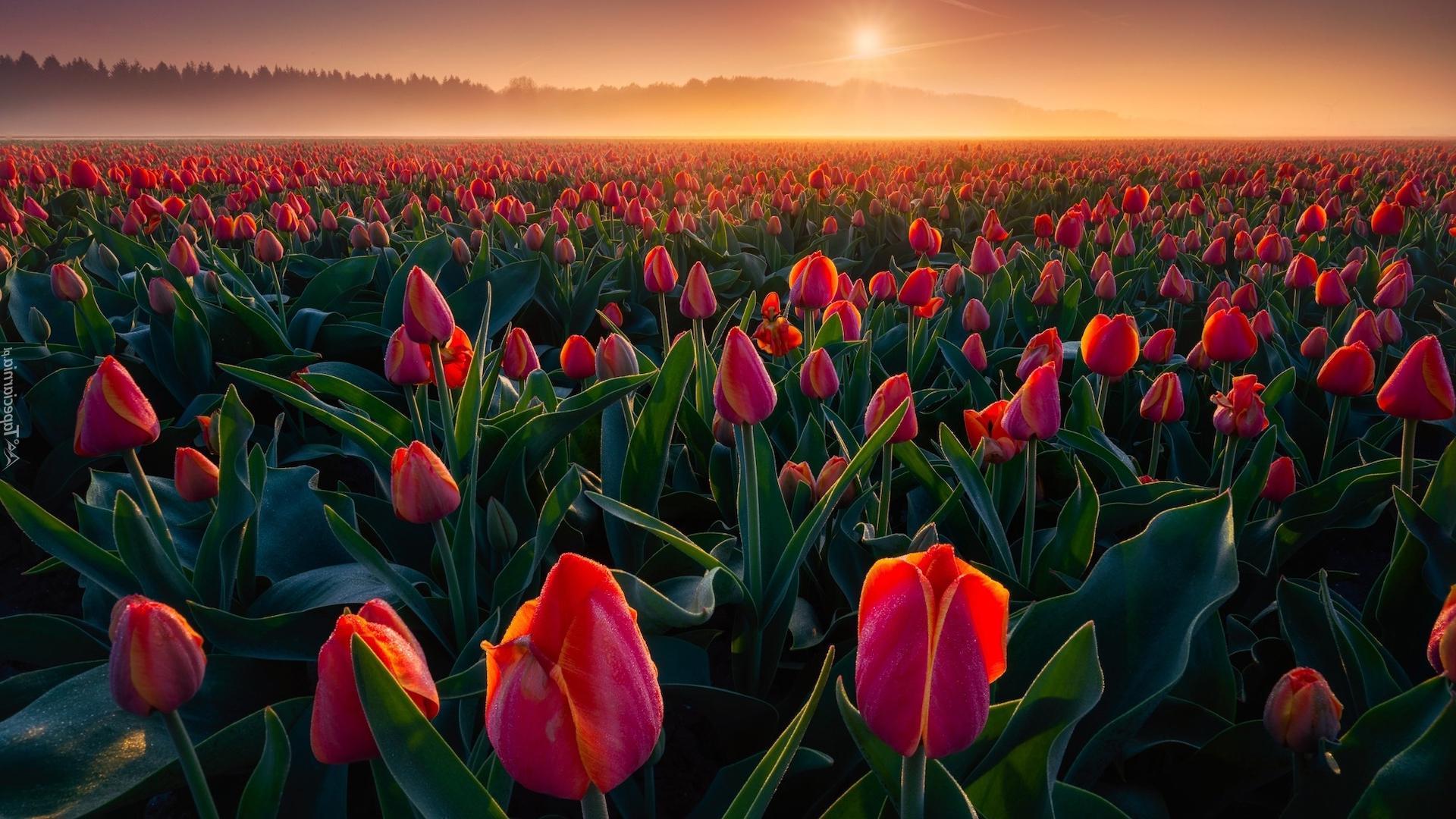 tulip-photo-137
