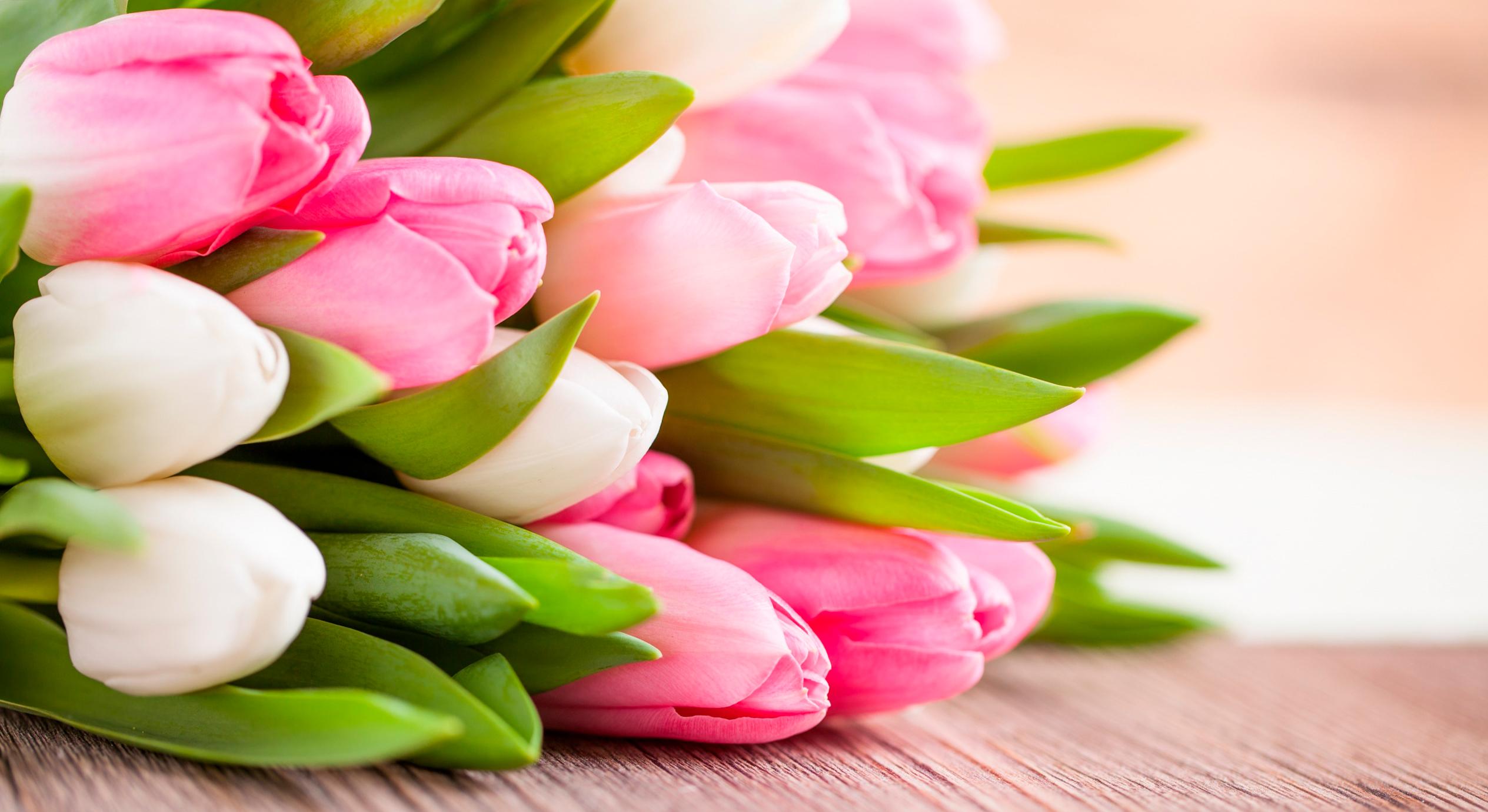 tulip-photo-138