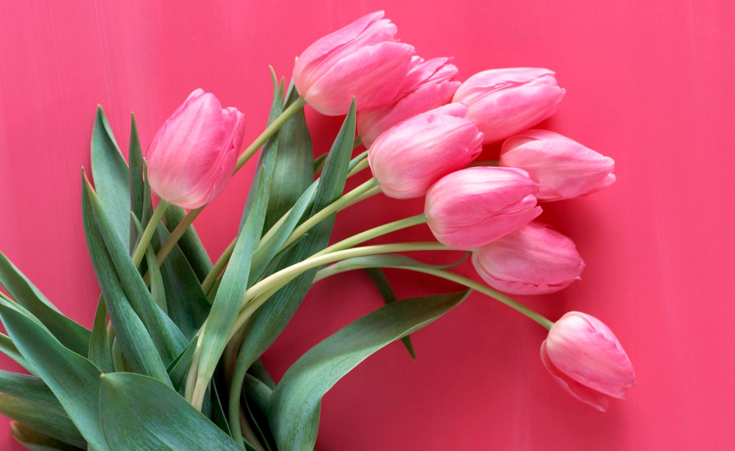 tulip-photo-139