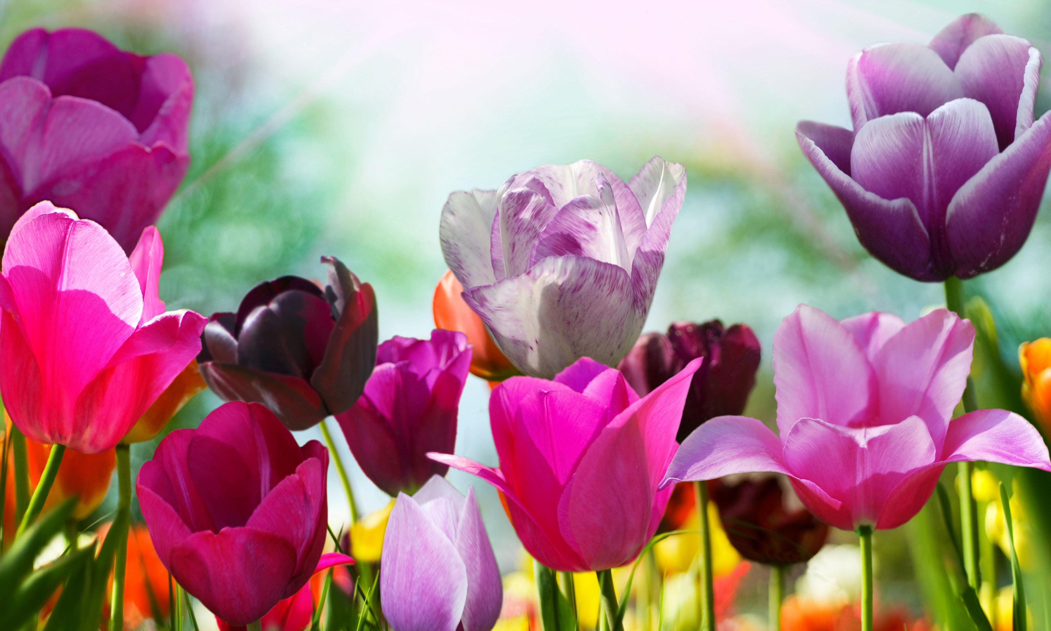 tulip-photo-14