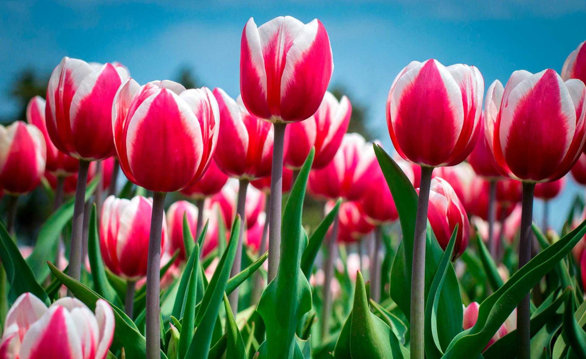 tulip-photo-140