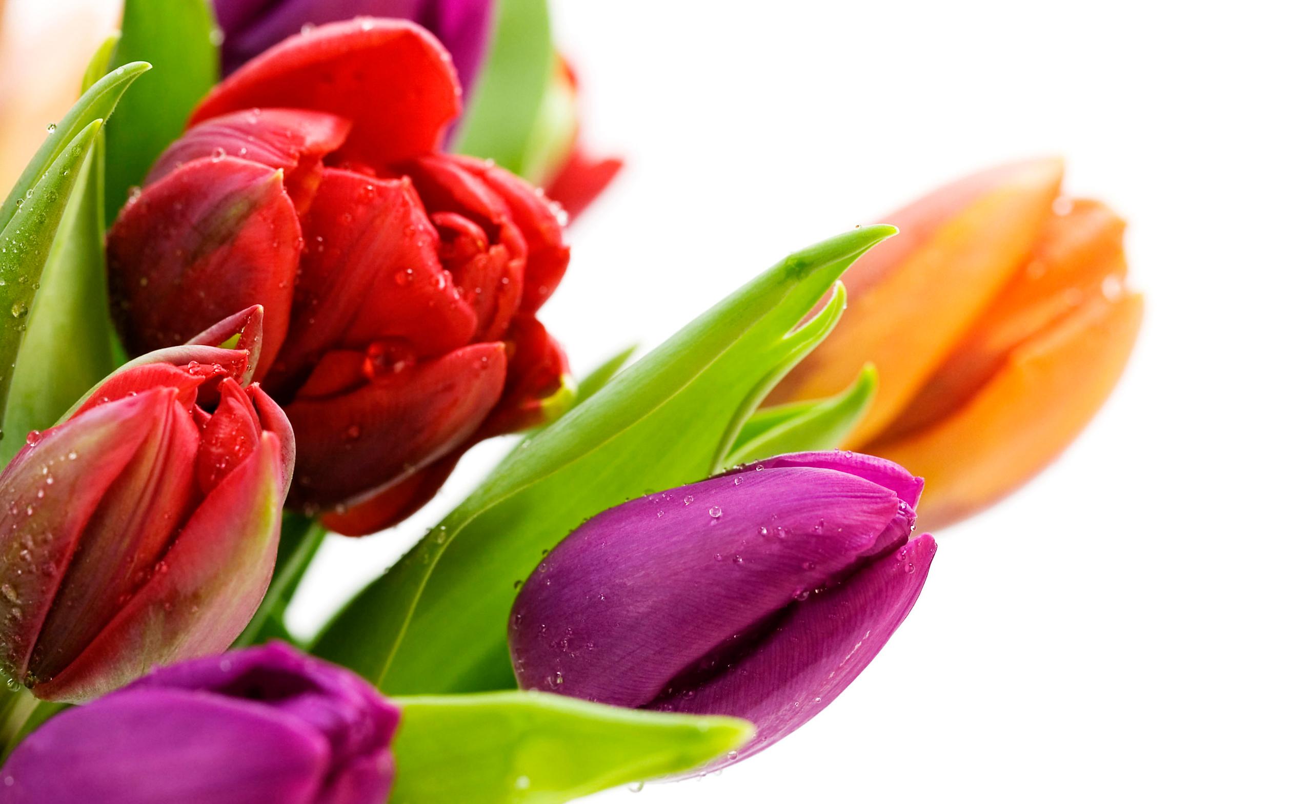 tulip-photo-141