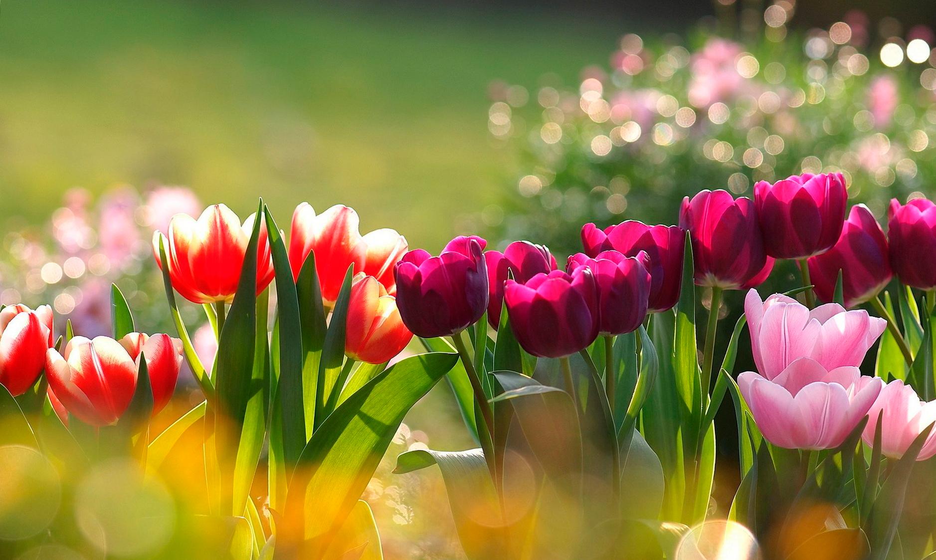 tulip-photo-142