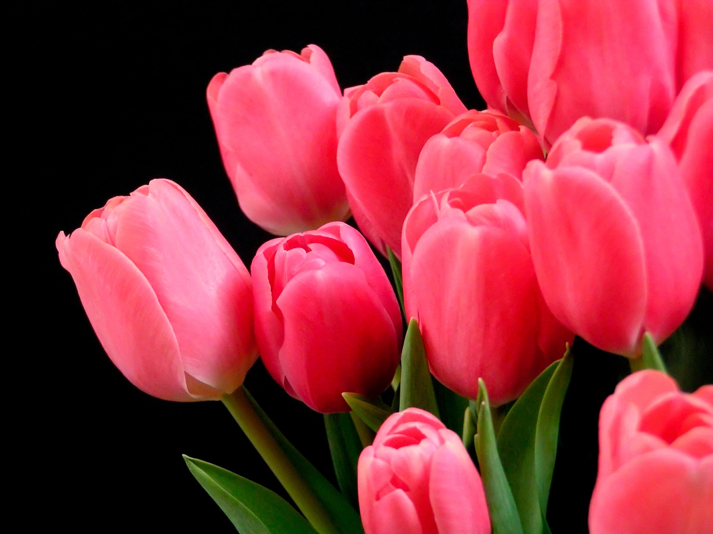 tulip-photo-143