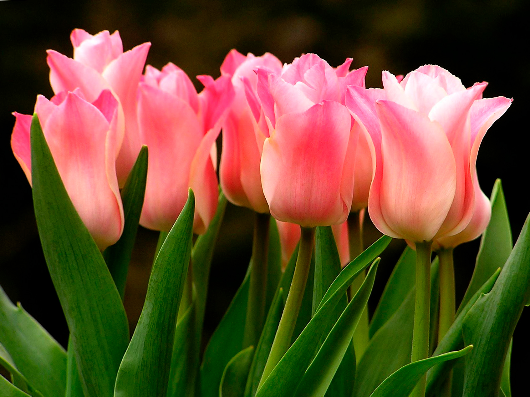 tulip-photo-145