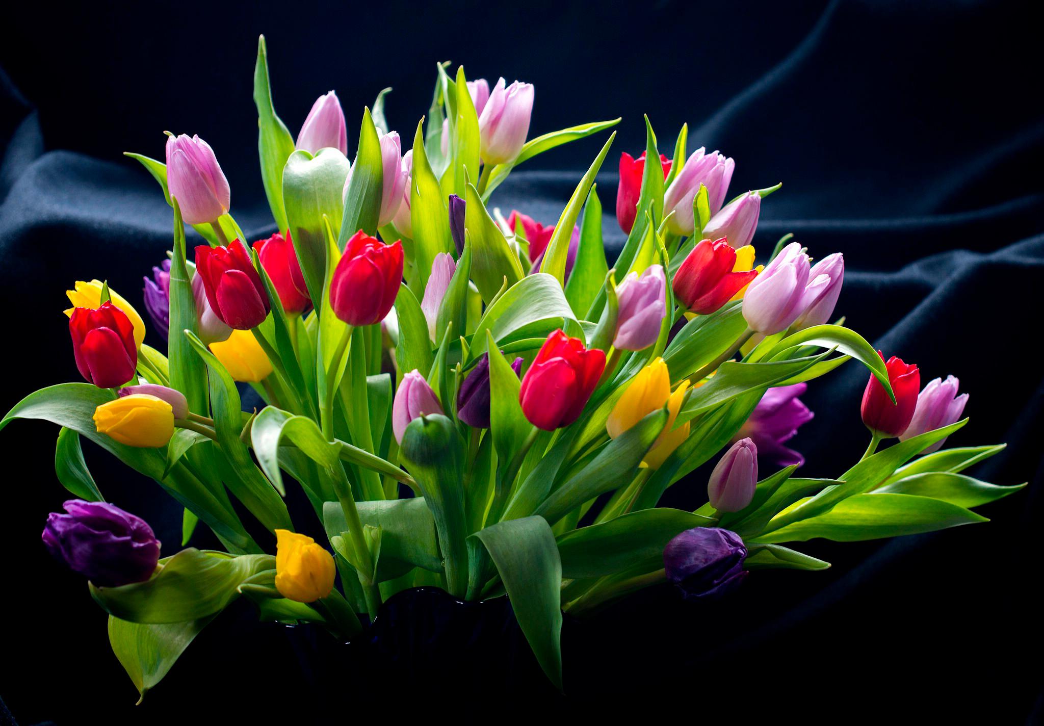 tulip-photo-146