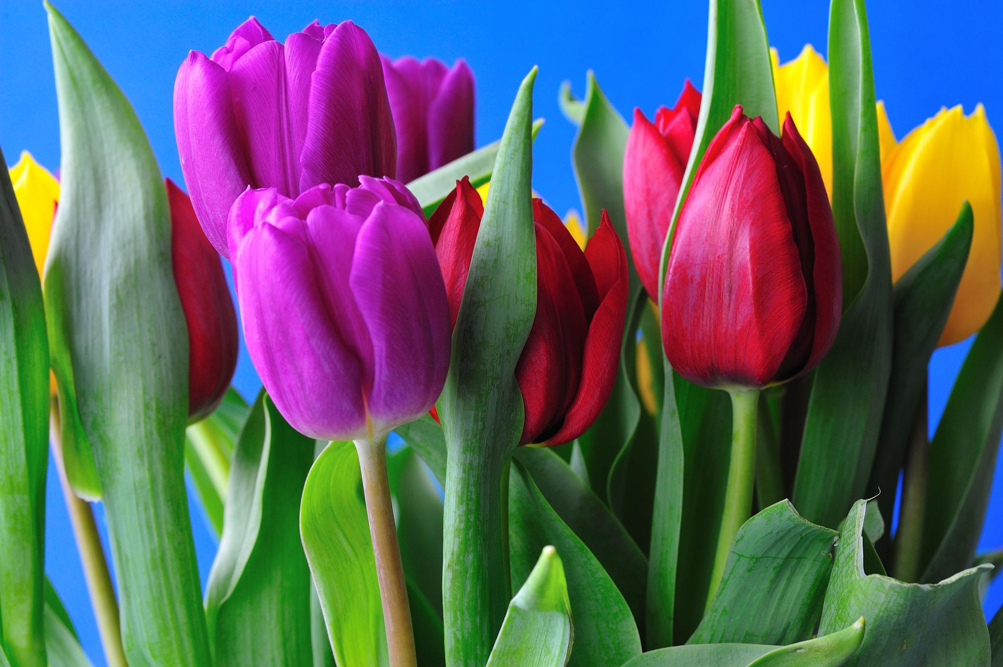 tulip-photo-147