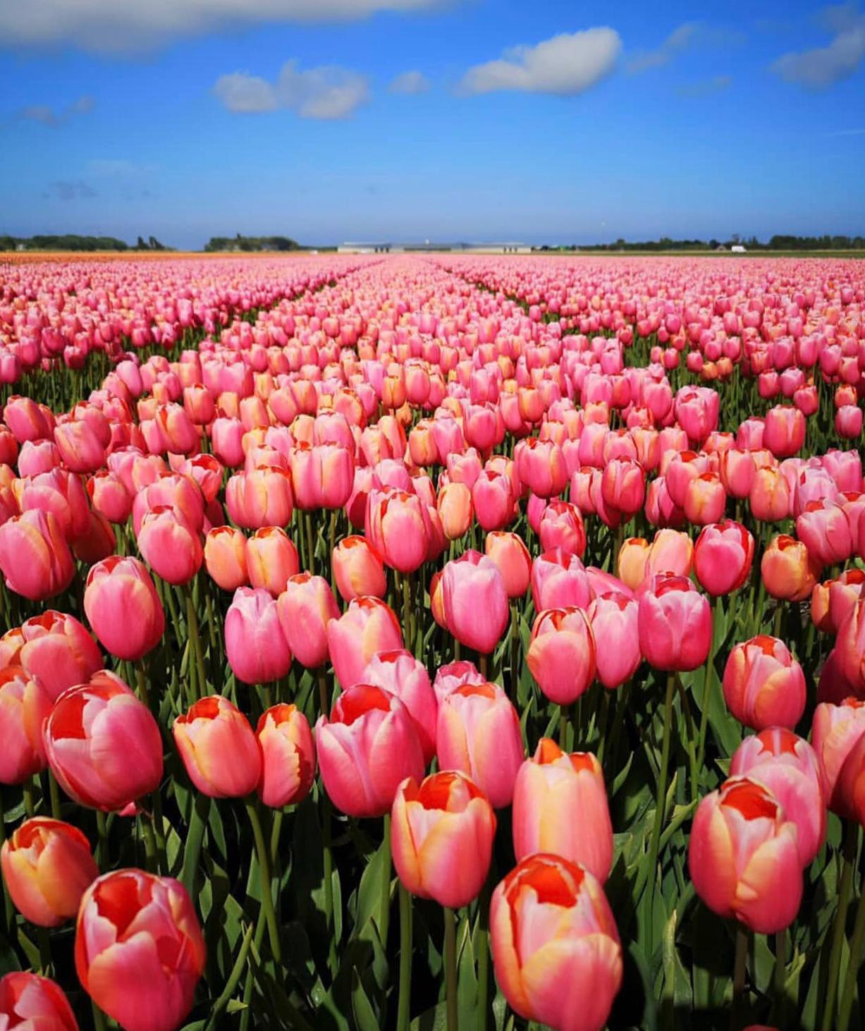 tulip-photo-149