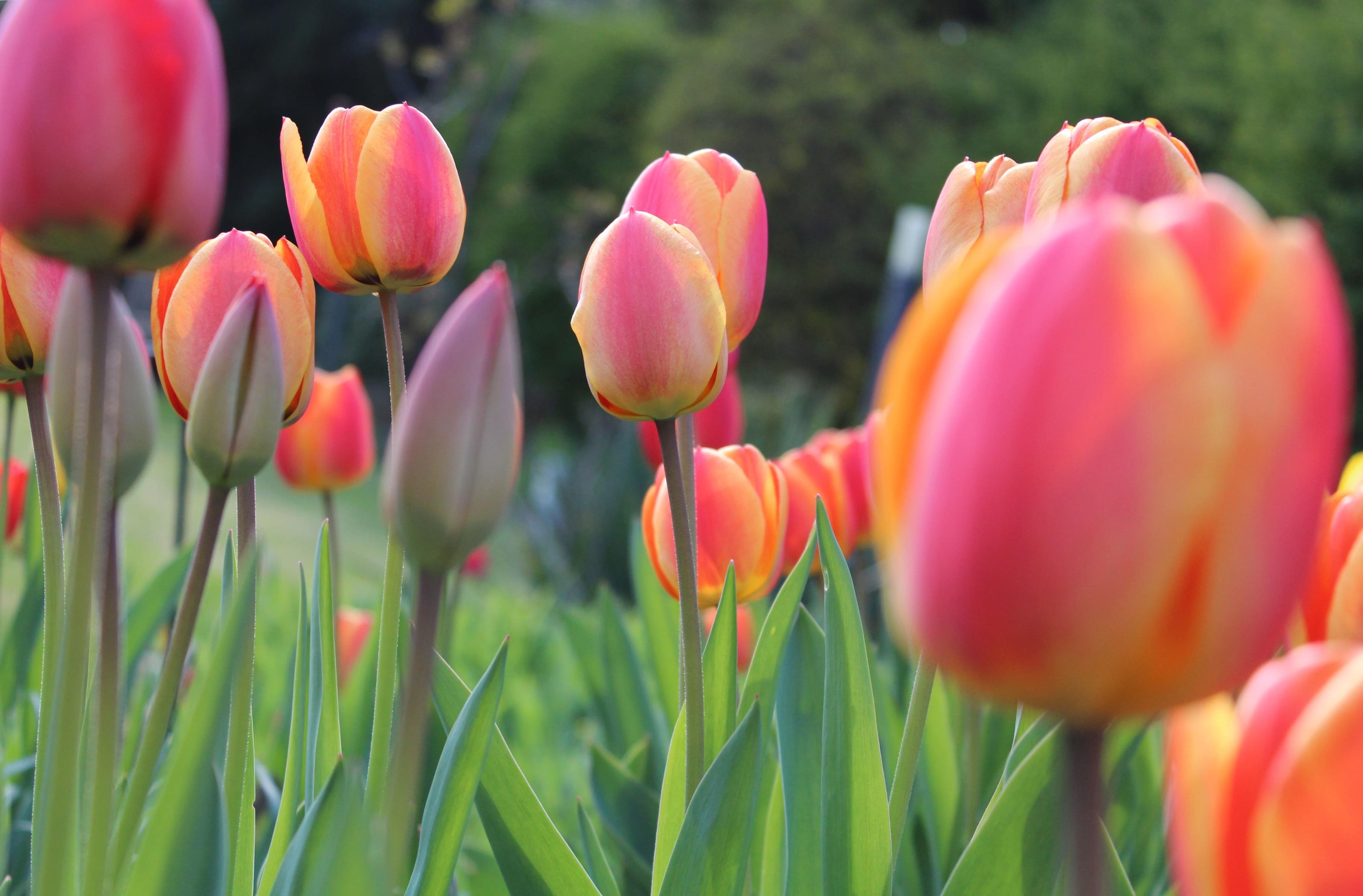 tulip-photo-15