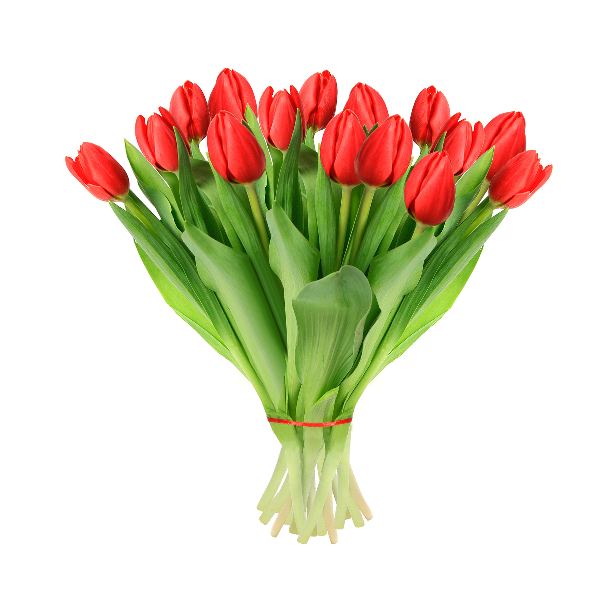 tulip-photo-152
