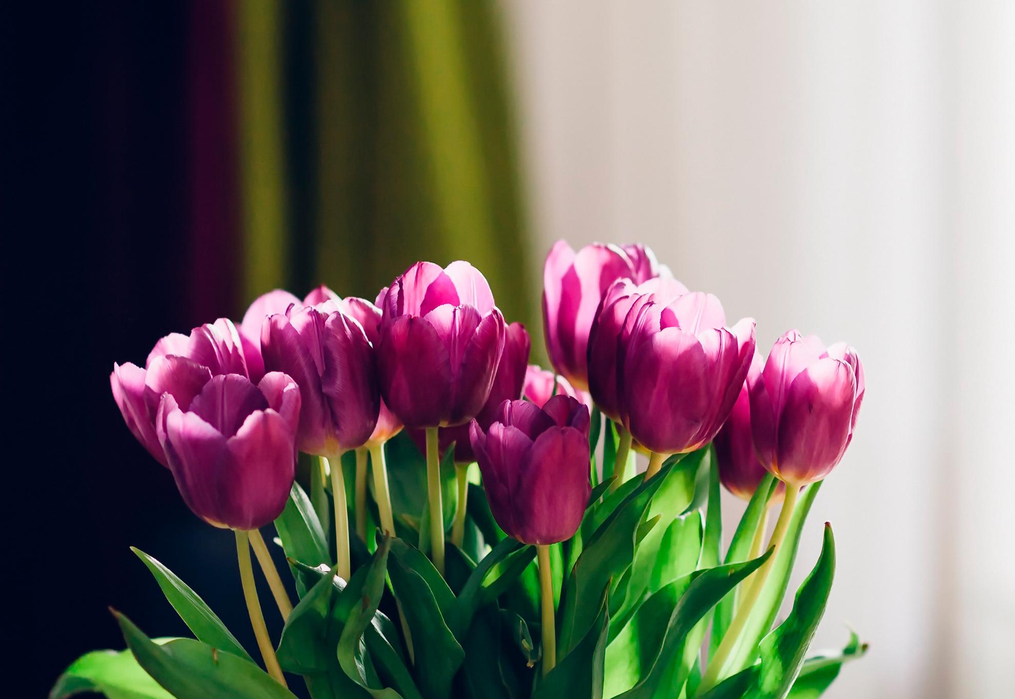tulip-photo-153