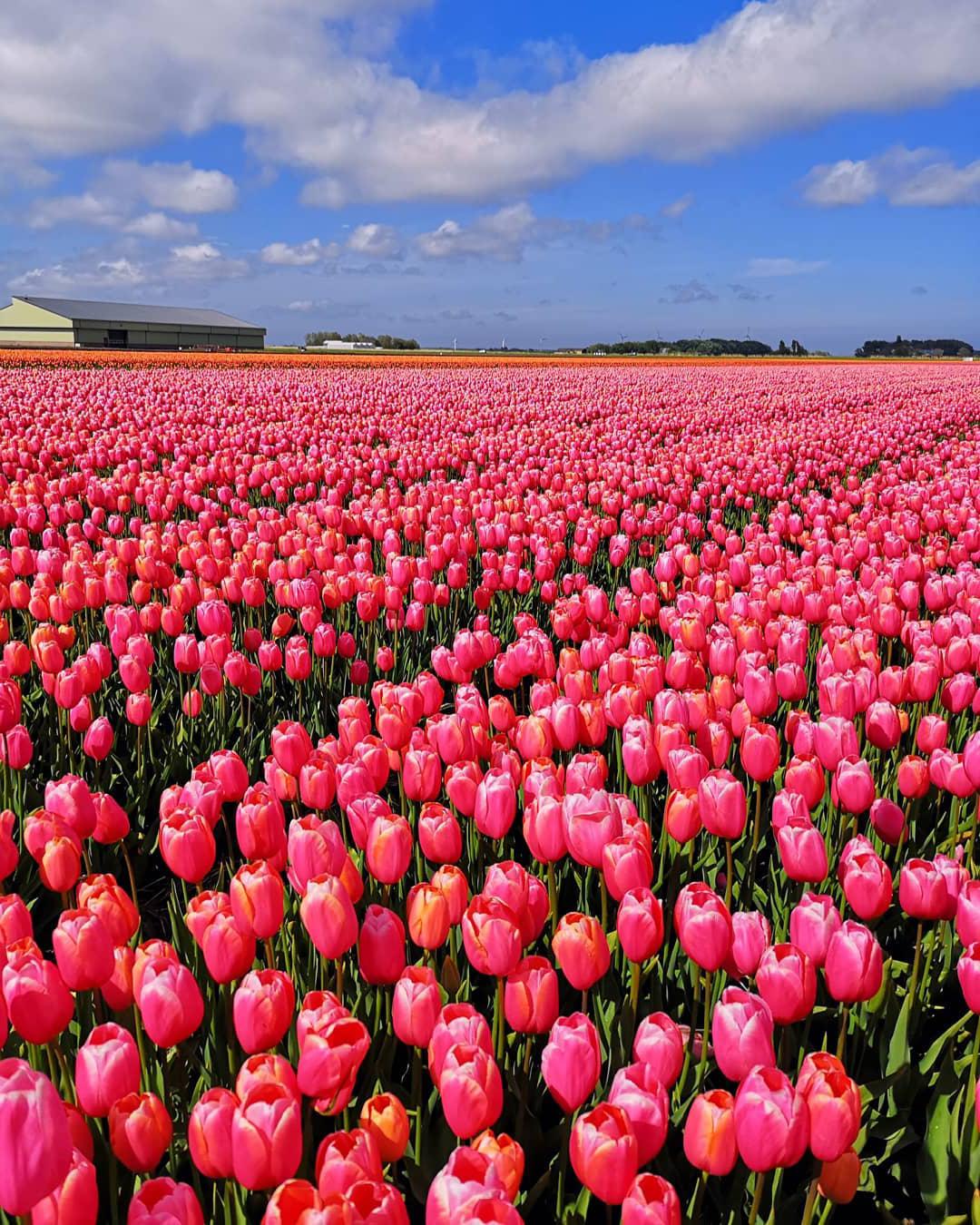 tulip-photo-156