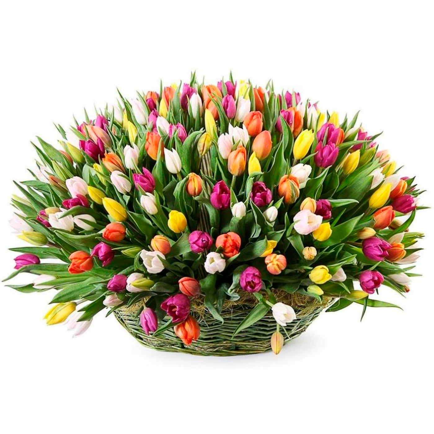 tulip-photo-157