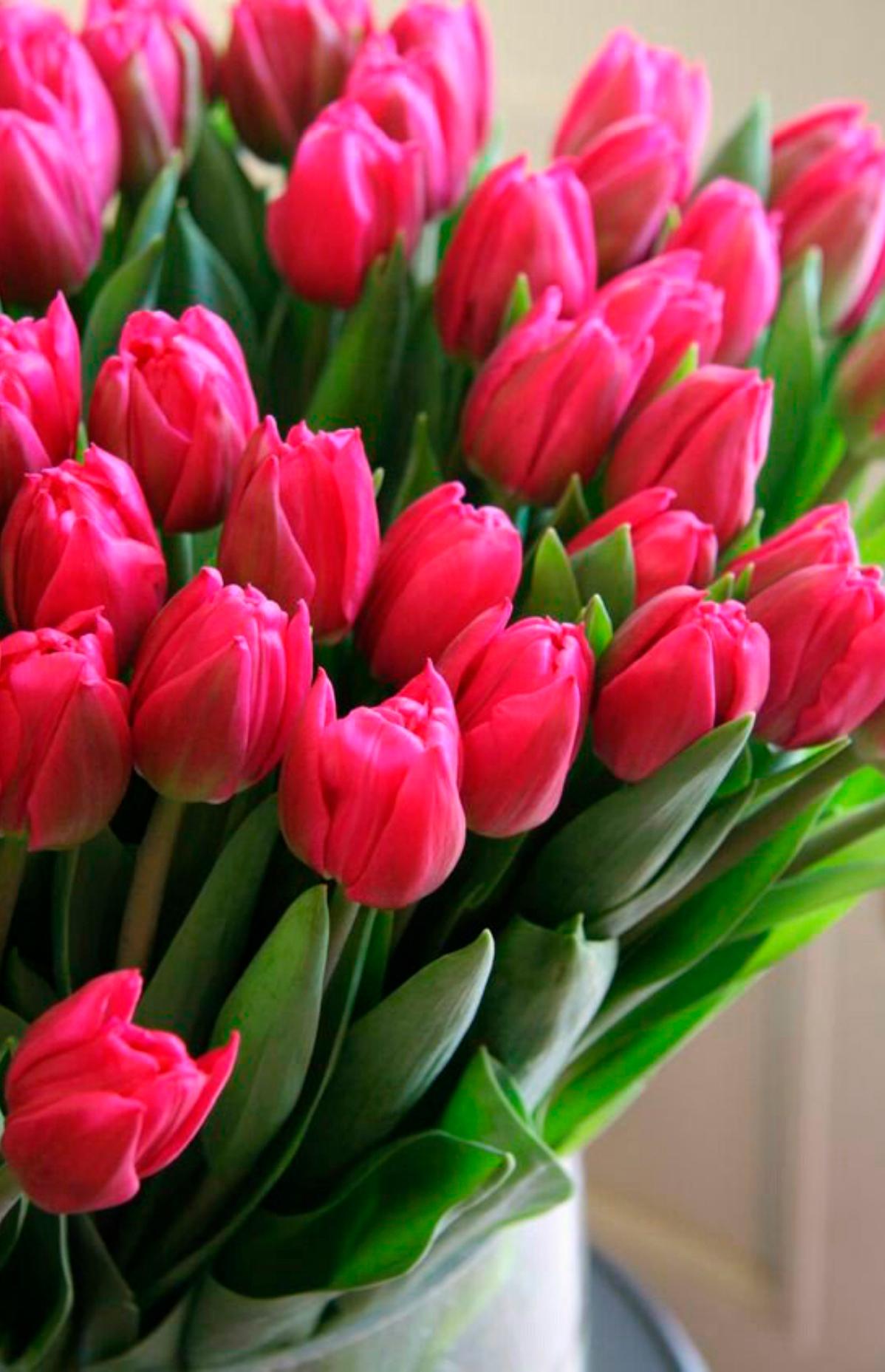 tulip-photo-158