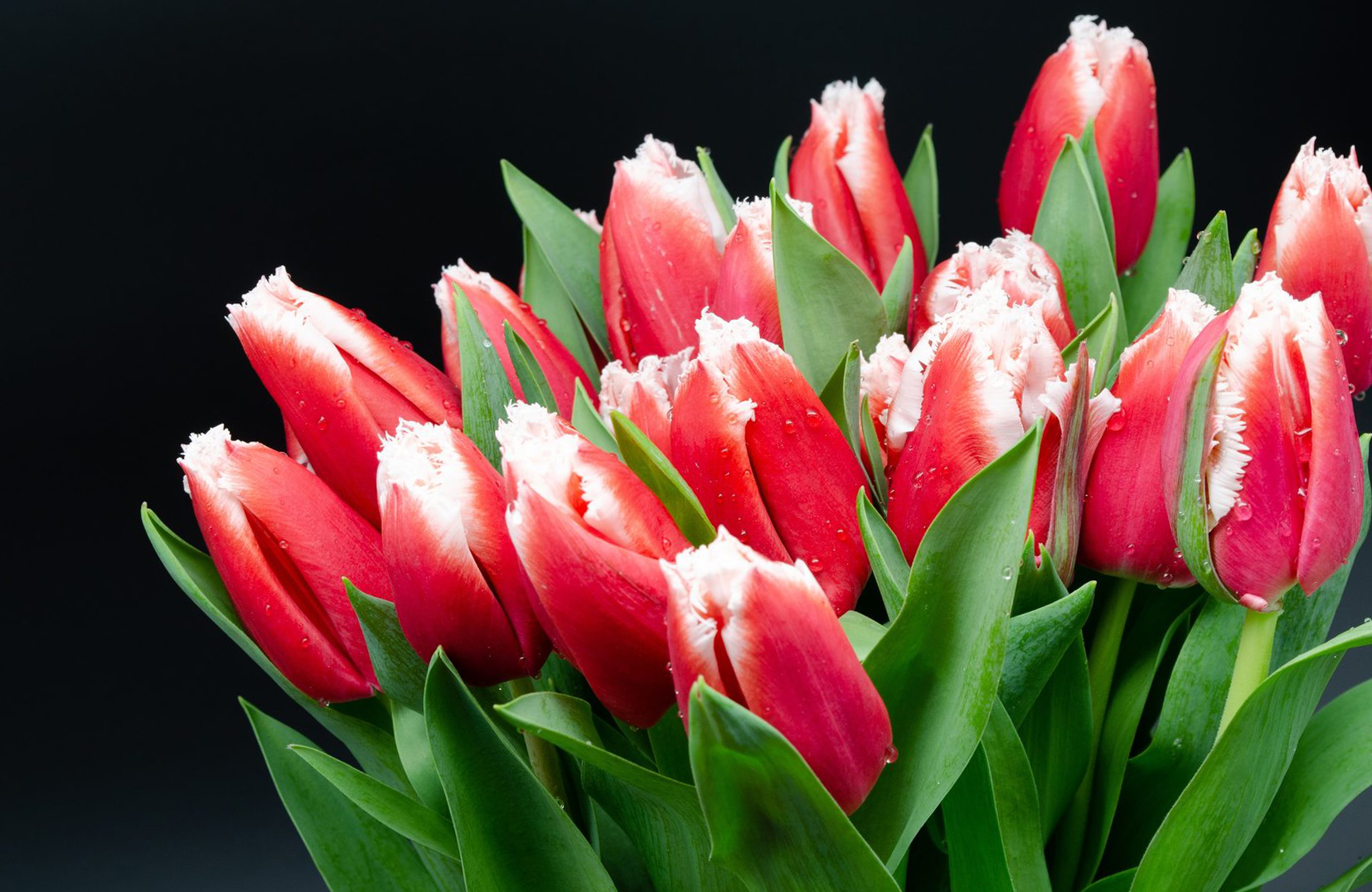 tulip-photo-160